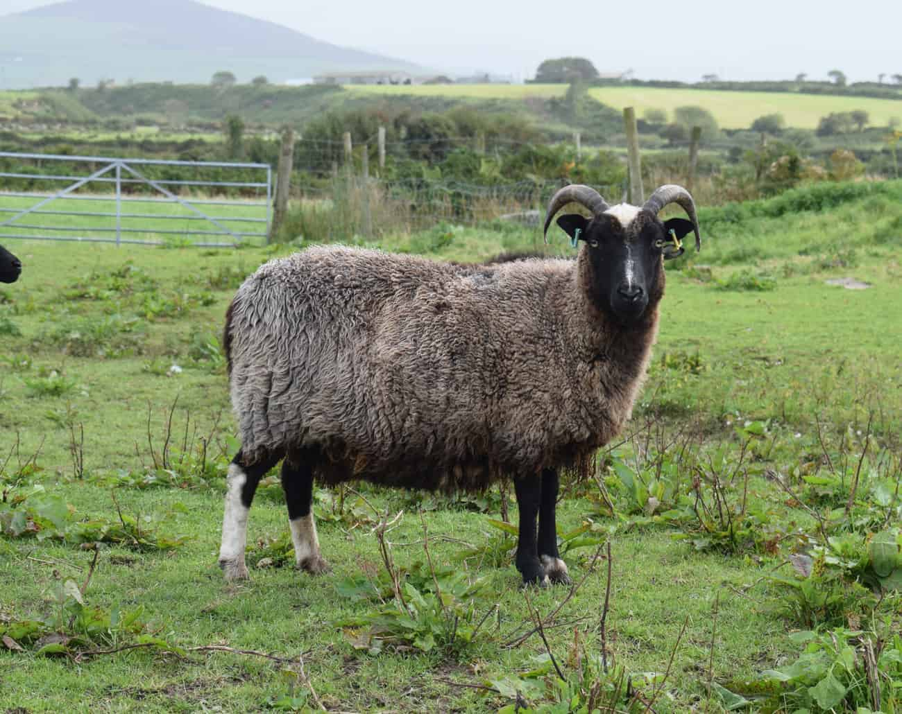Minnie jacob cross shetland sheep patchwork sheep kind fibre old pic