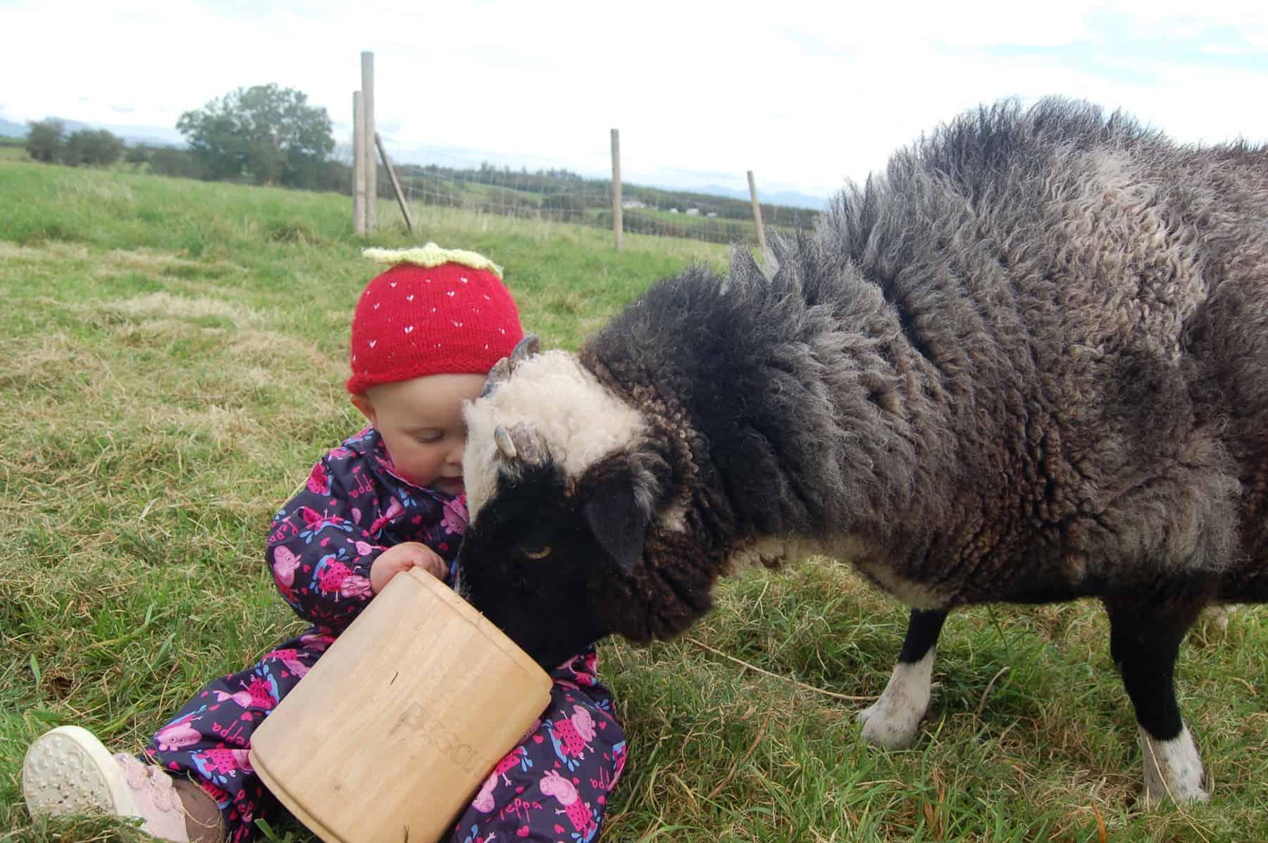 Holly pet lamb sheep jacob cross shetland spotted black grey white wales gwynedd kids farm life