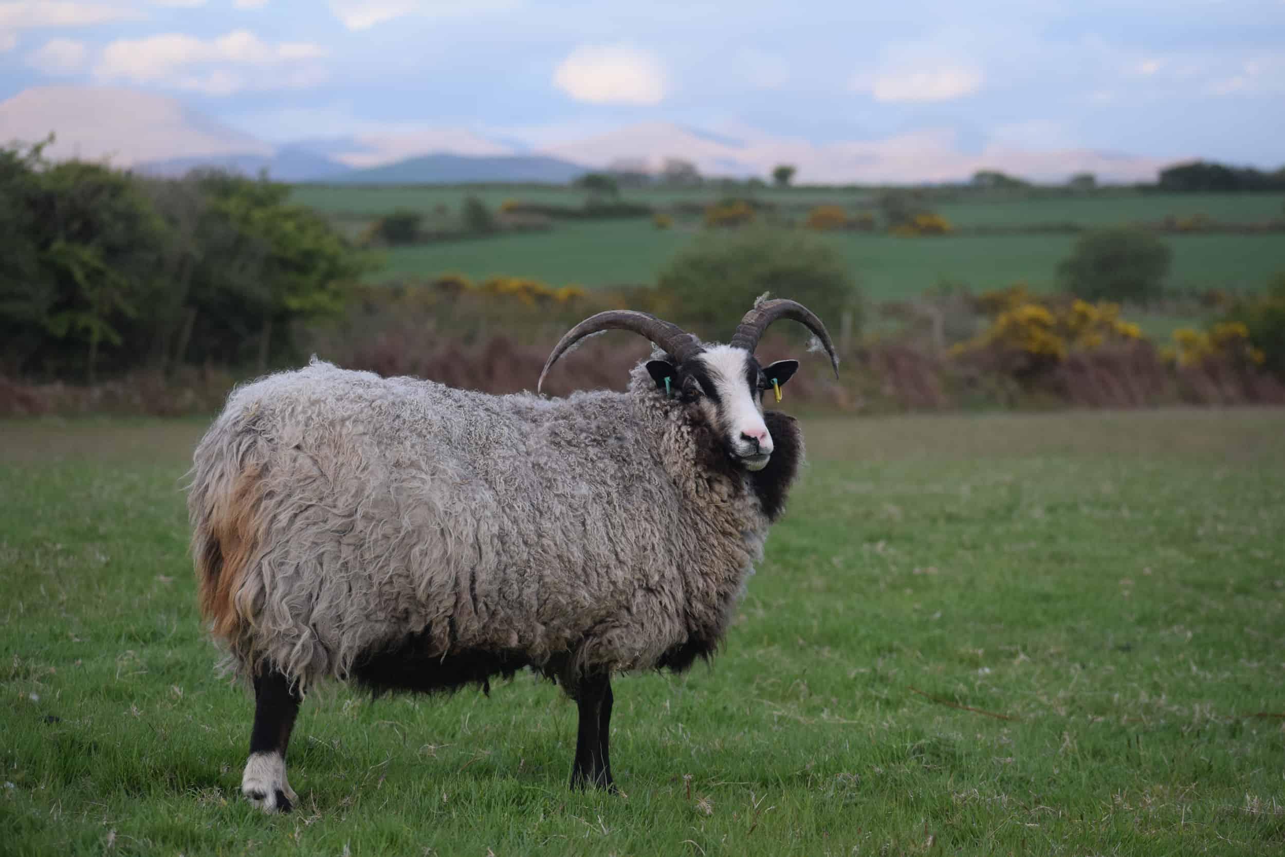 Poppy magnificent horns katmoget badgerface shetland cross jacob sheep lamb cute 2