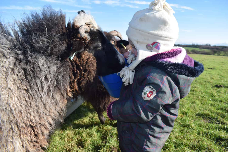 Holly pet lamb sheep jacob cross shetland spotted black grey white wales gwynedd kids farm life 3