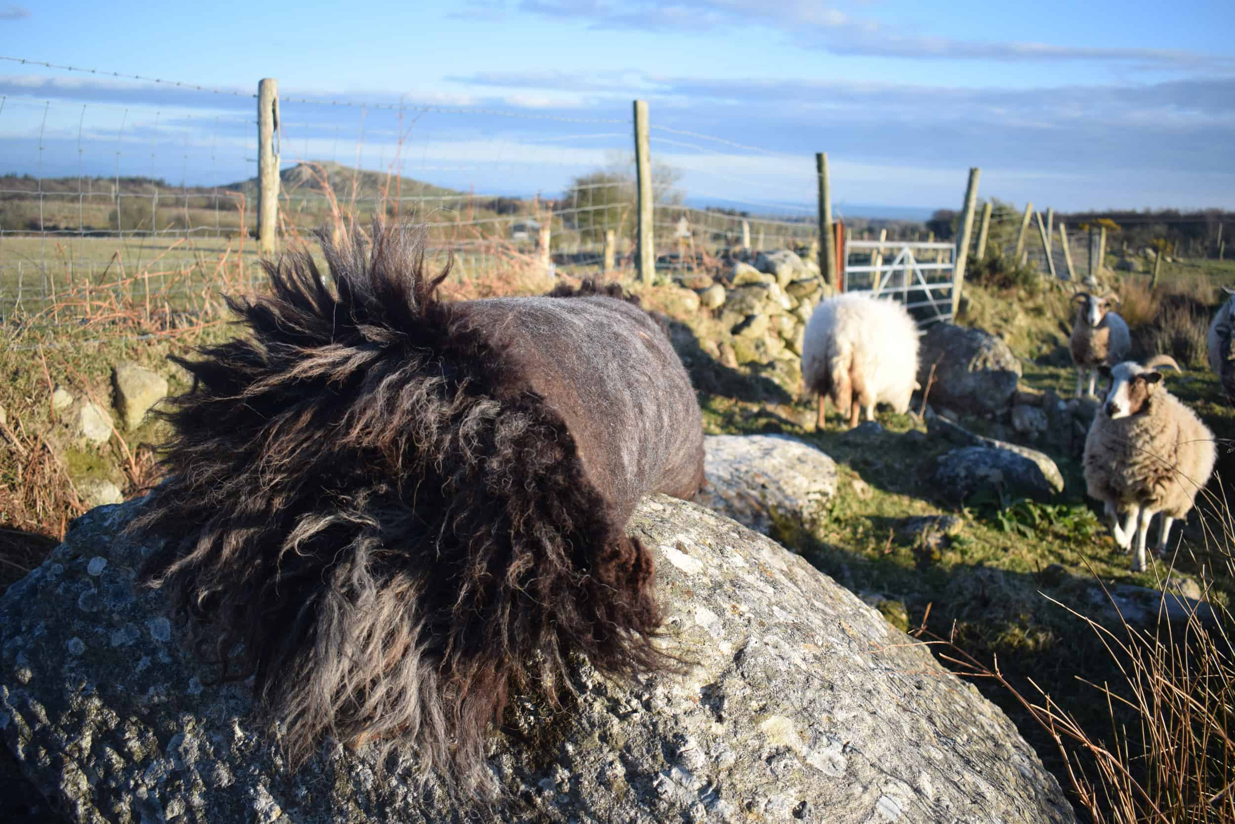 Gem felted fleece rug grey vegetarian sheepskinethical kindblack welsh mountain jacob shetland cross sheeo wild hairy black beauty 2