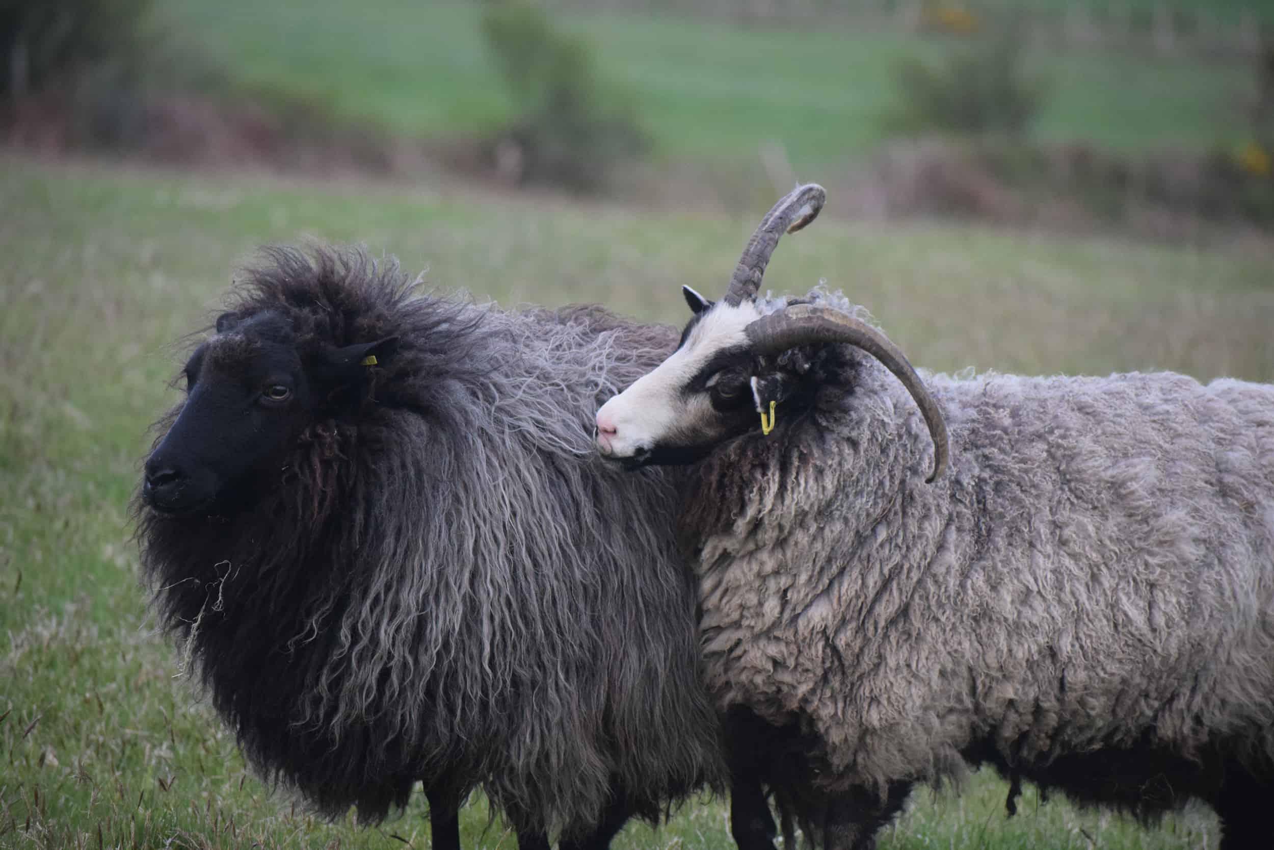 Poppy gem sheep playing katmoget badgerface shetland cross jacob sheep lamb cute