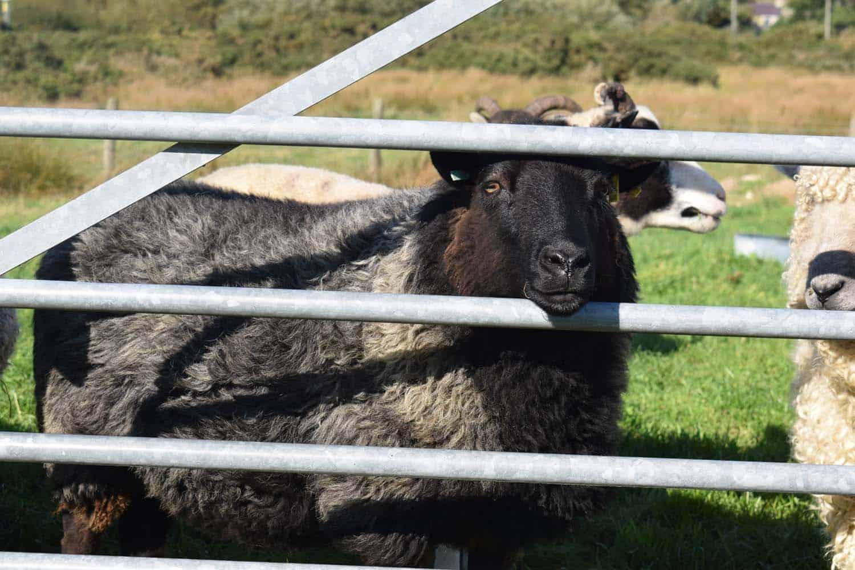 gem black welsh mountain cross jacob sheep ewe