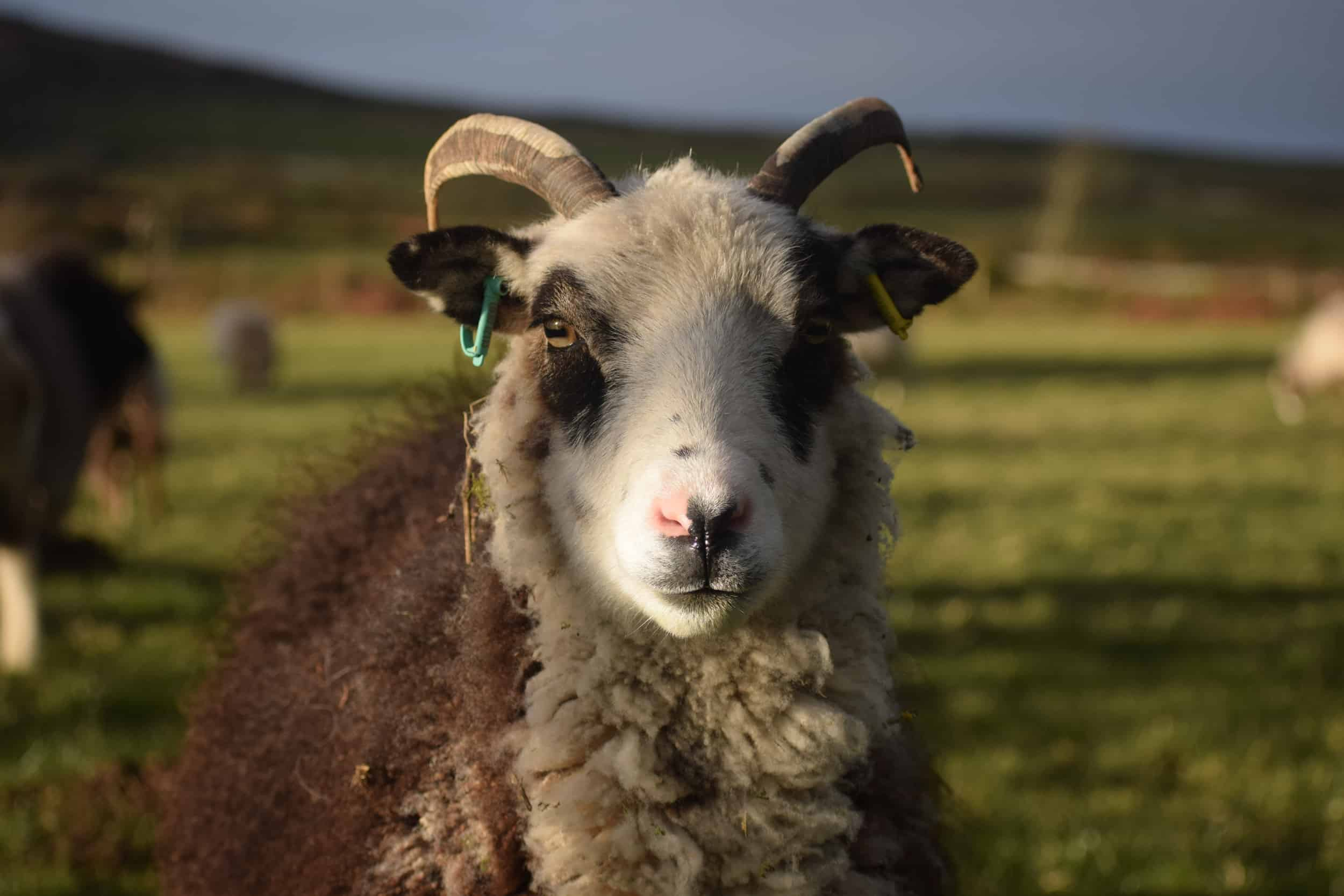 patchwork sheep blossom soay cross shetland sheep ewe