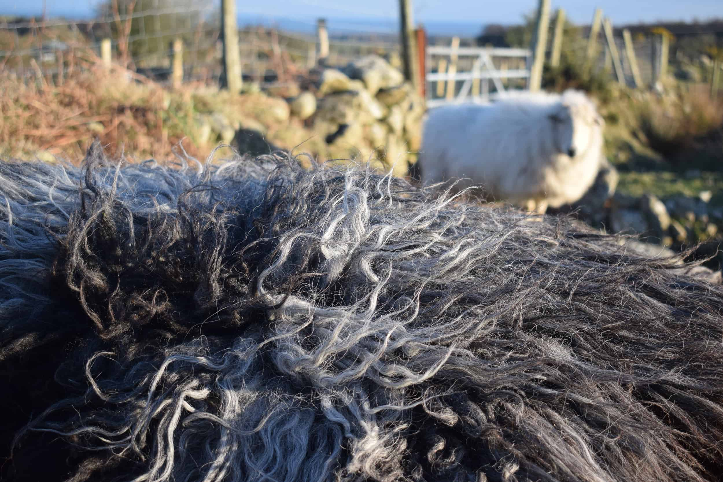 Gem felted fleece rug grey vegetarian sheepskinethical kindblack welsh mountain jacob shetland cross sheeo wild hairy black beauty 3