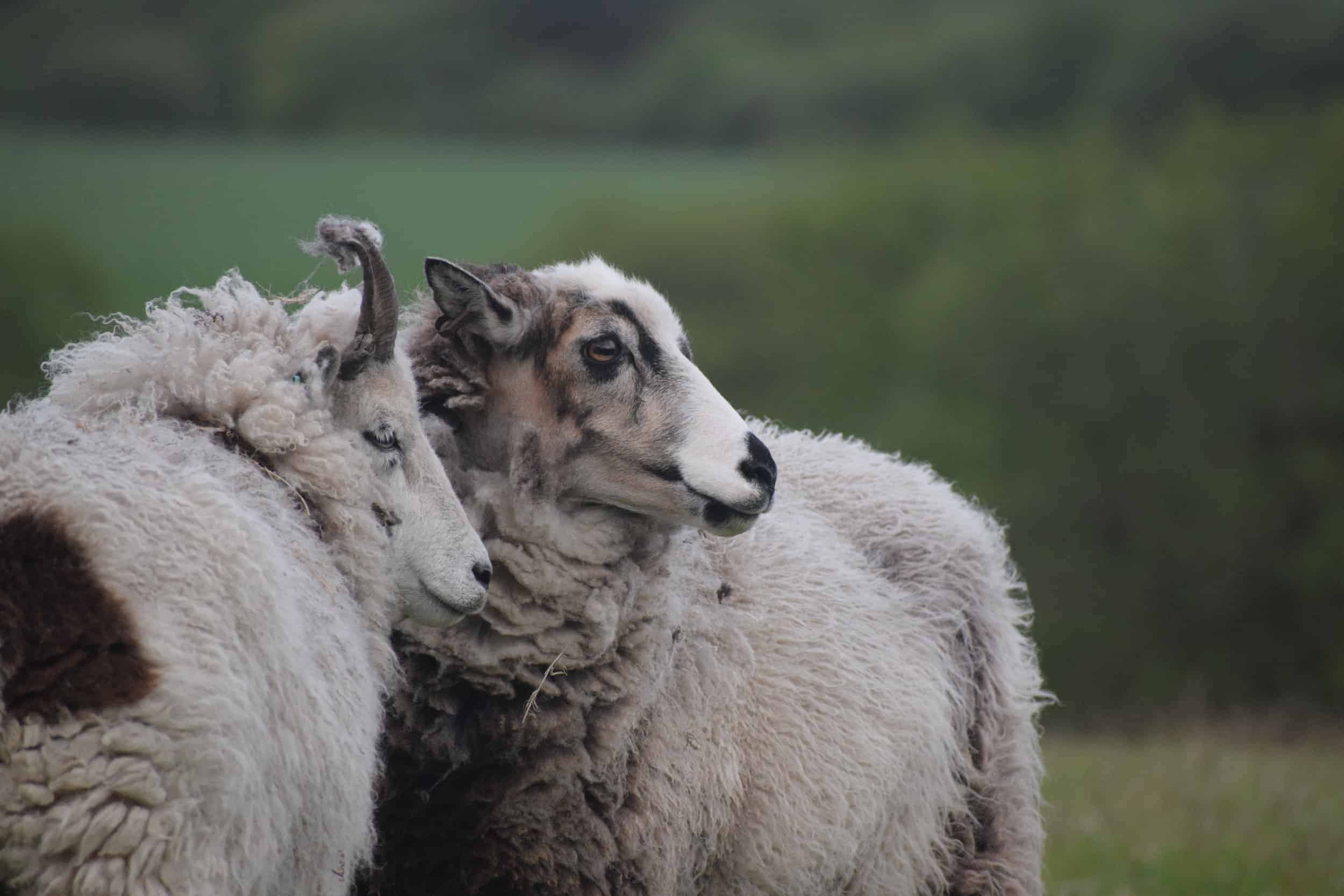 patchwork sheep smudge patch primitivecute lamb golden soay cross shetland jacob sheep