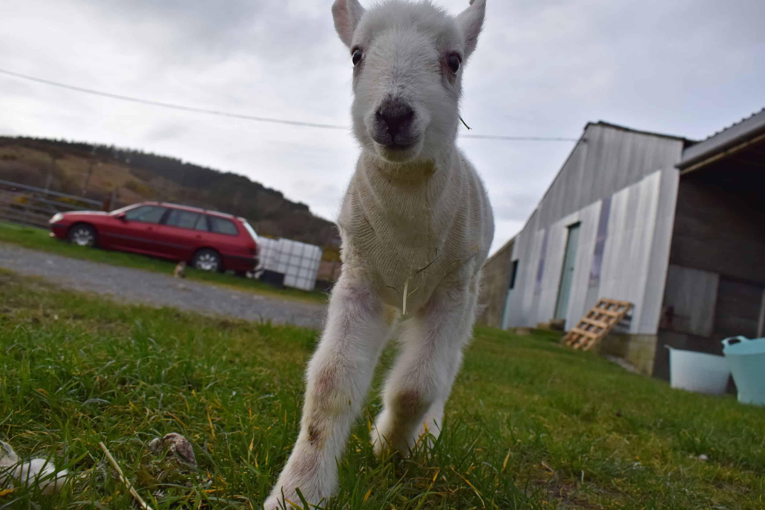 Lily bfl blueface leicester sheep ewe lamb pet bottle baby lamb jumper