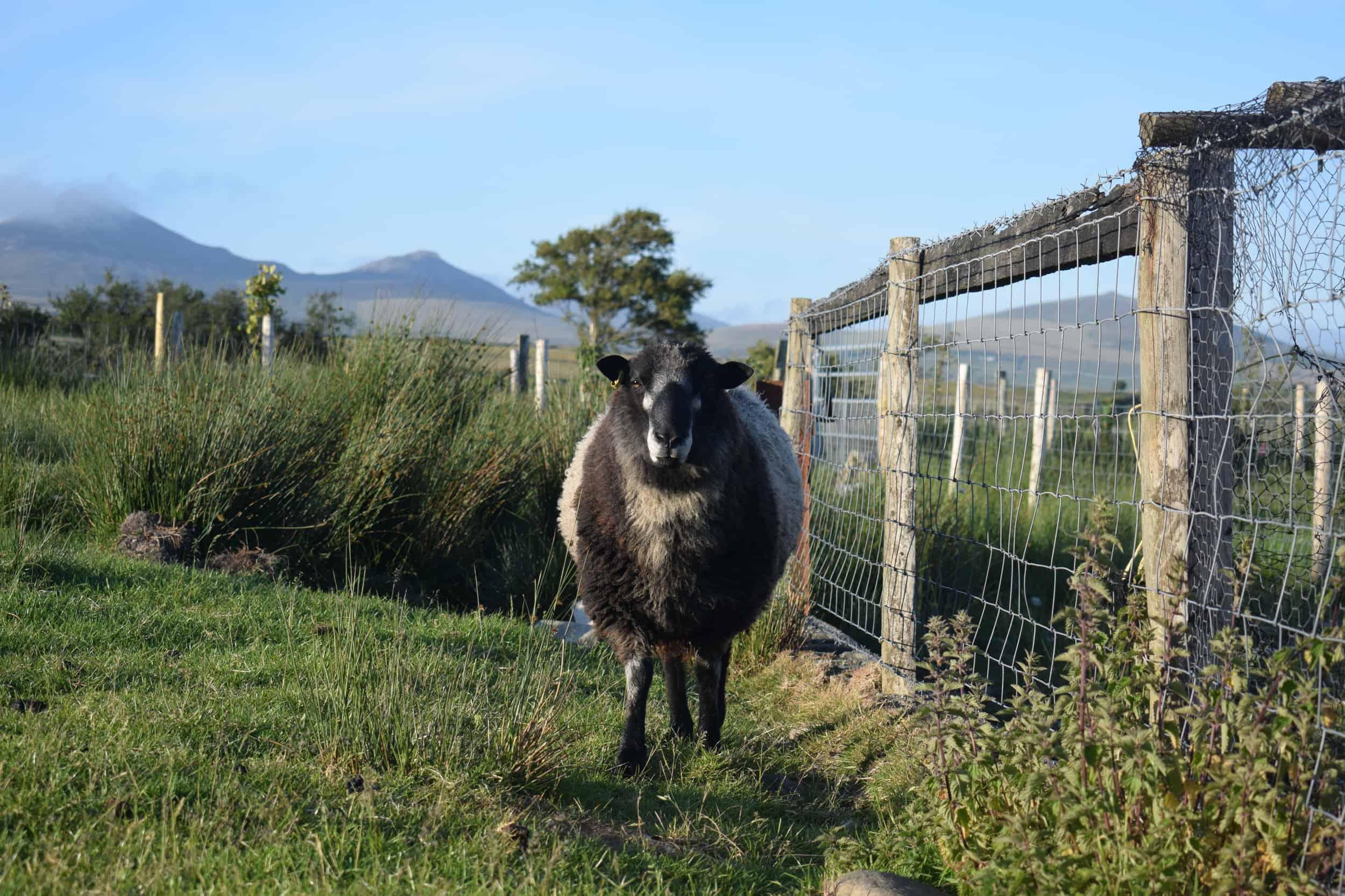 Bruno yearling ram coloured leicester longwool gotland shetland sheep crossbreed english blue kind fibre