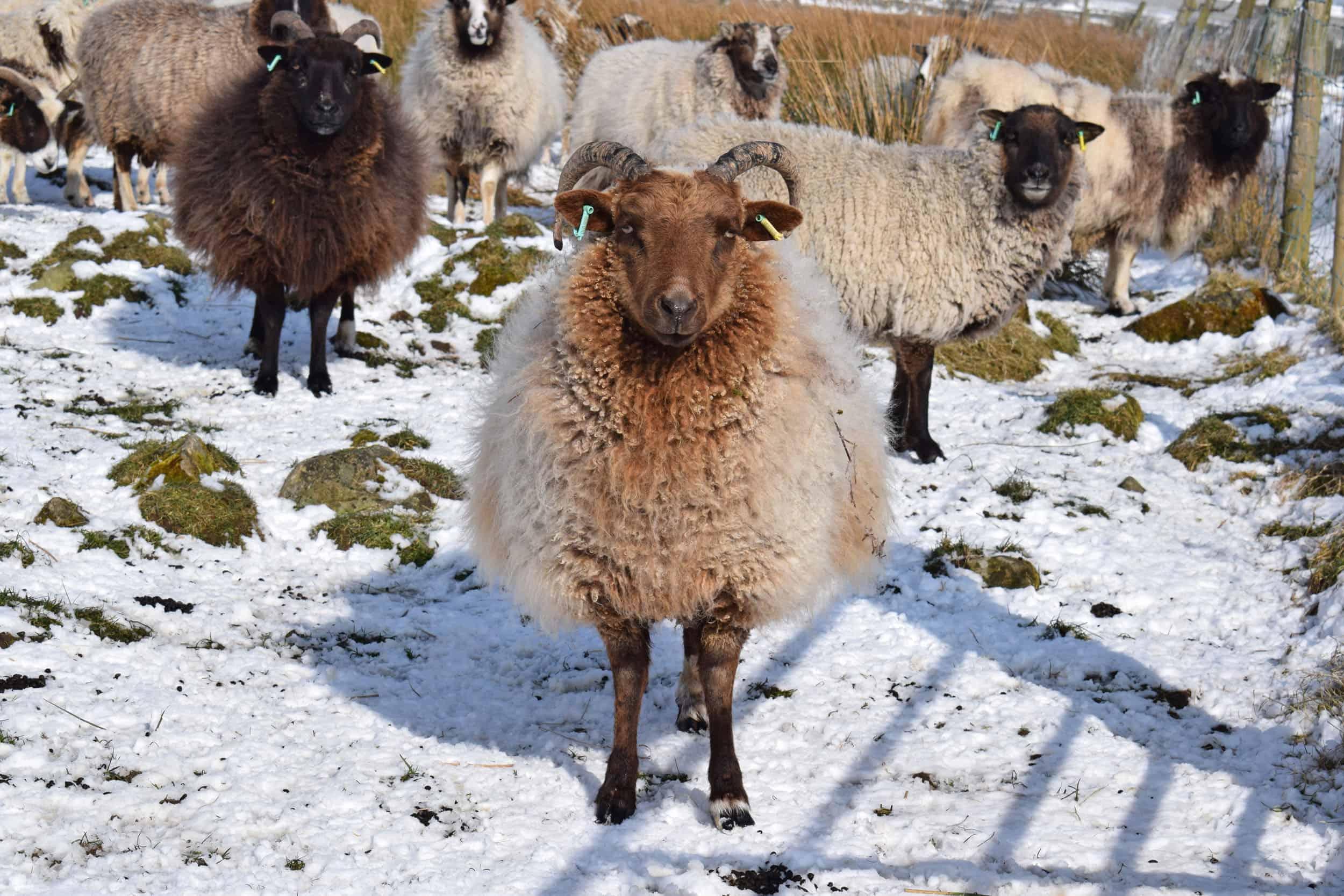 Harriet moorit brown sheep jacob cross shetland snow winter