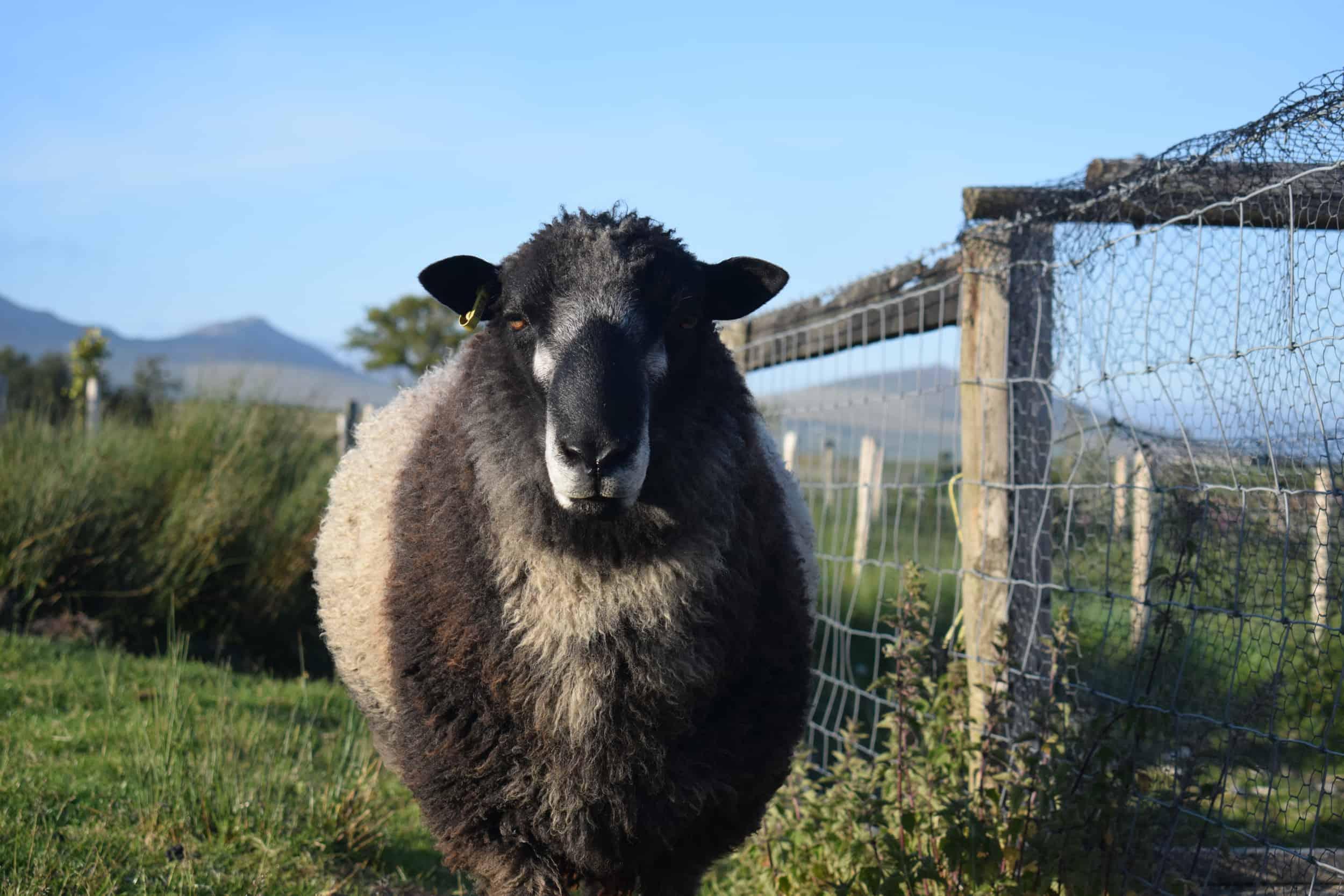 Bruno yearling ram coloured leicester longwool gotland shetland sheep crossbreed english blue kind fibre 4