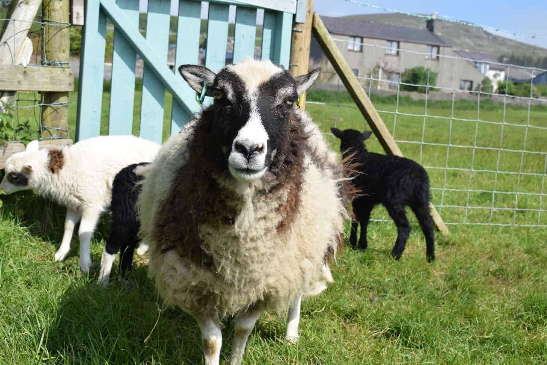 patchwork sheep soay cross shetland spotted ewe pretty Fern