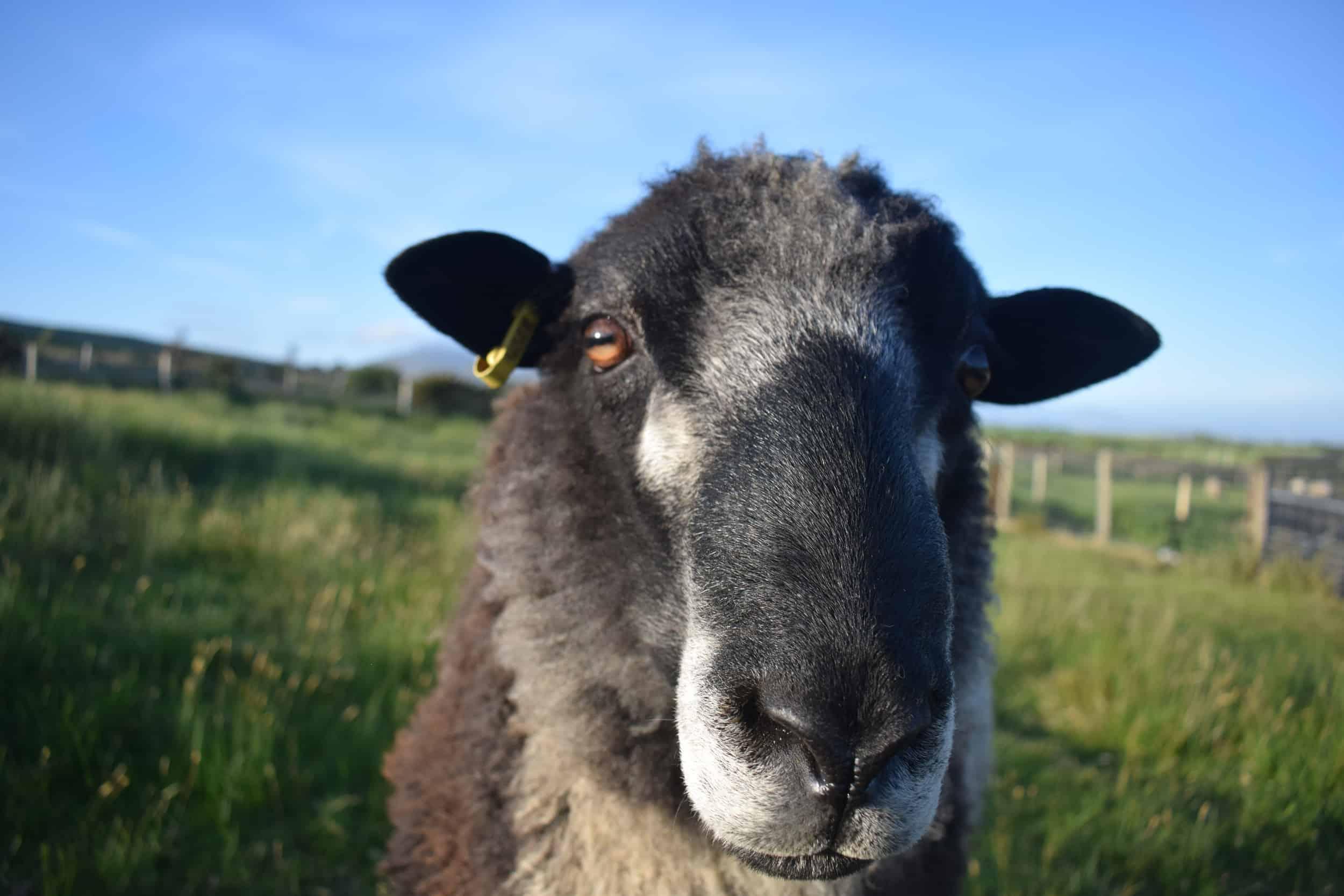 Bruno yearling ram coloured leicester longwool gotland shetland sheep crossbreed english blue kind fibre 3