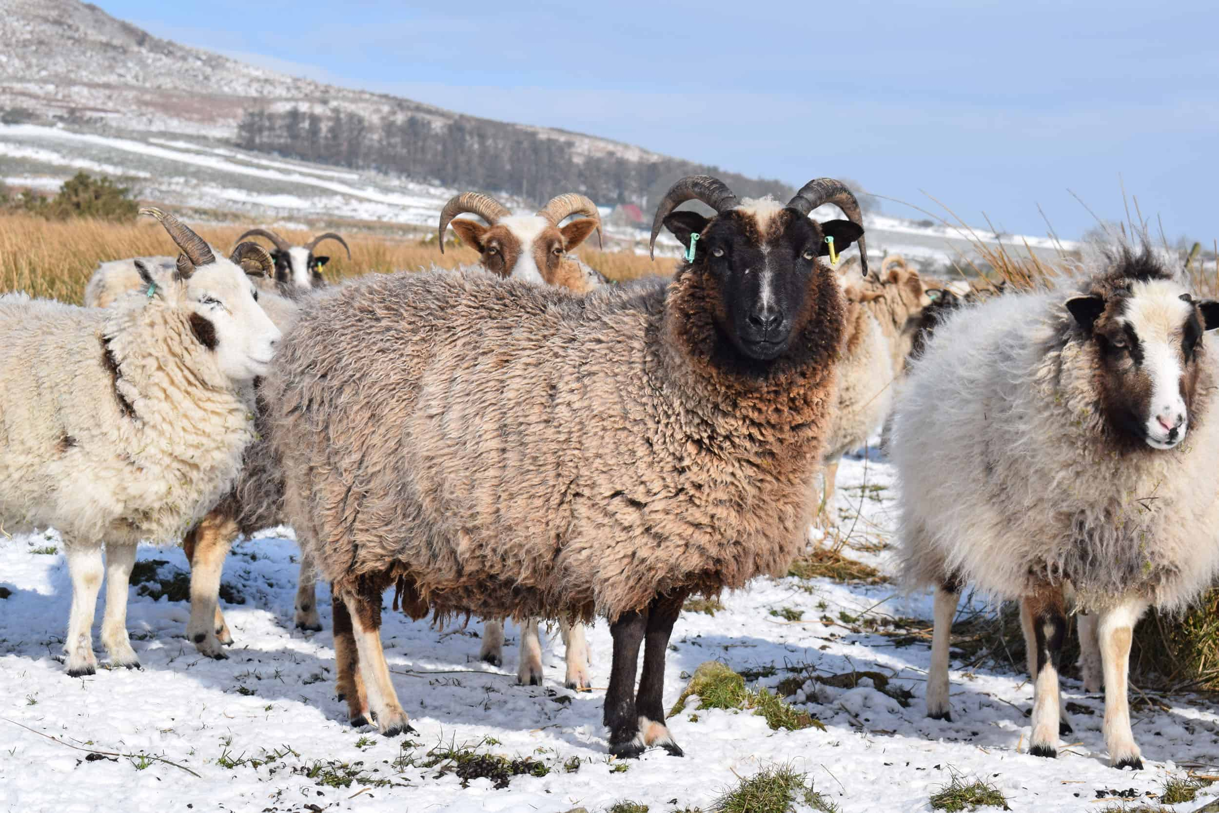 Minnie jacob cross shetland sheep patchwork sheep kind fibre lavender grey snow
