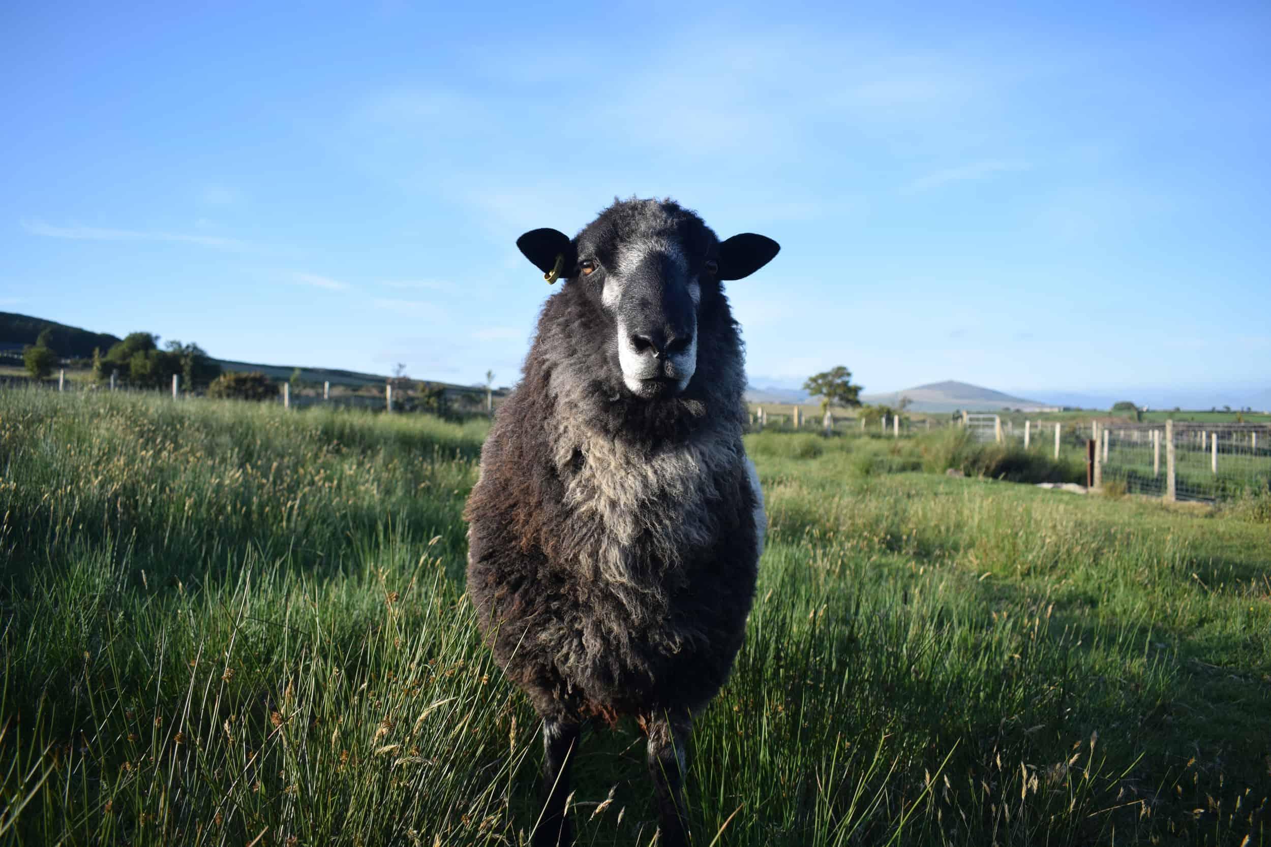 Bruno yearling ram coloured leicester longwool gotland shetland sheep crossbreed english blue kind fibre 5
