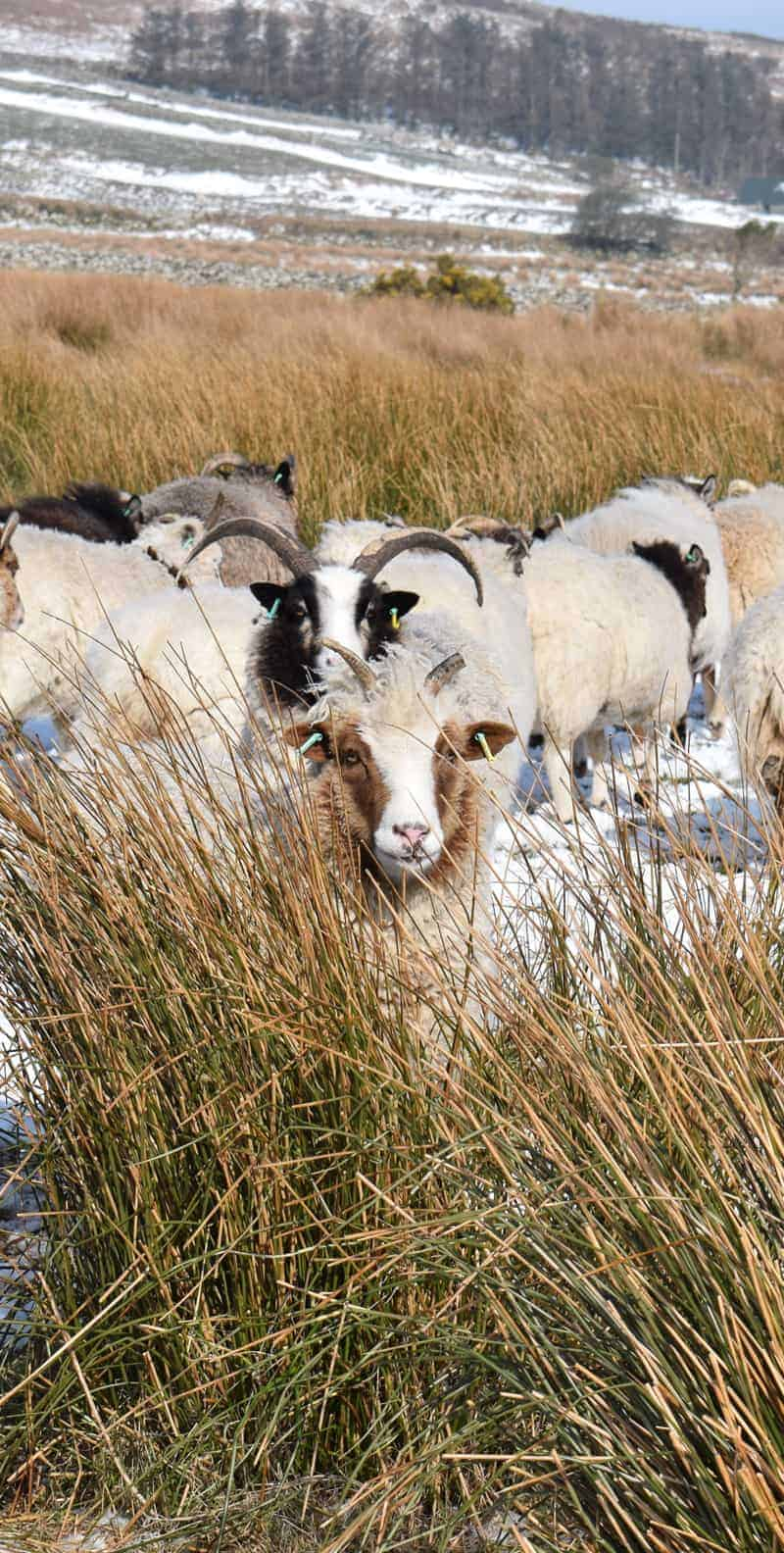 Muffn patchwork sheep moorit brown spotted jacob sheep shetland sheep snow