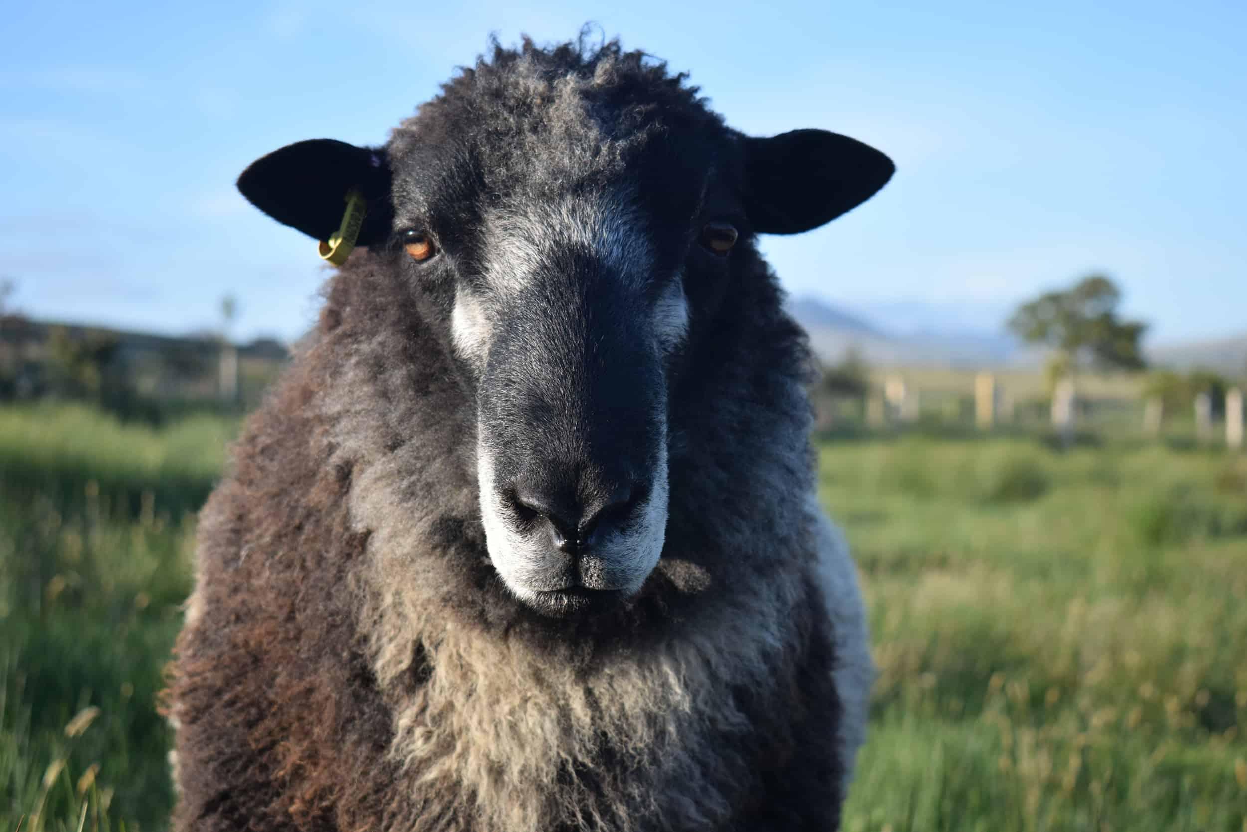 Bruno yearling ram coloured leicester longwool gotland shetland sheep crossbreed english blue kind fibre 2