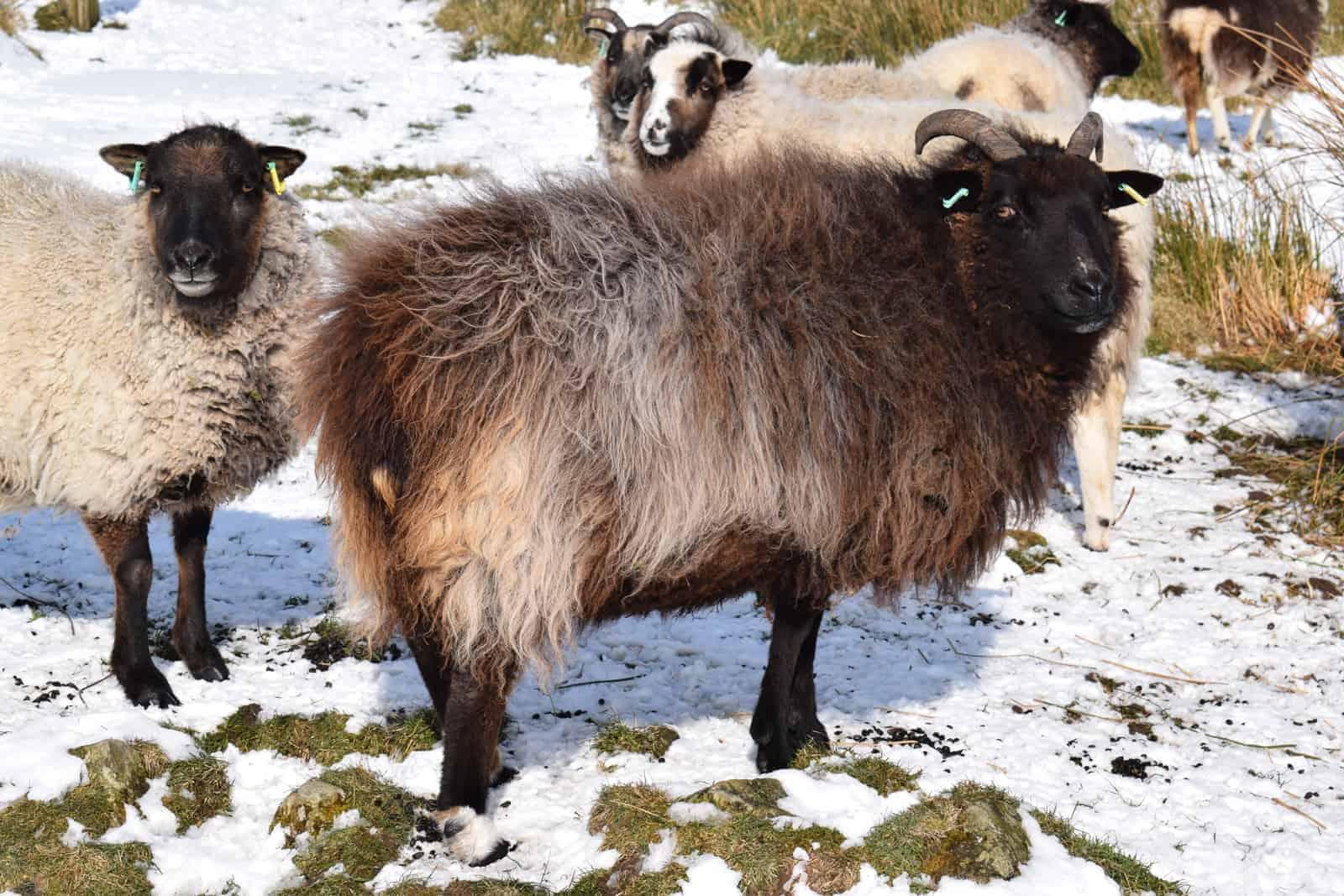 Magic snow winter sheep jacob cross shetland magical patchwork sheep