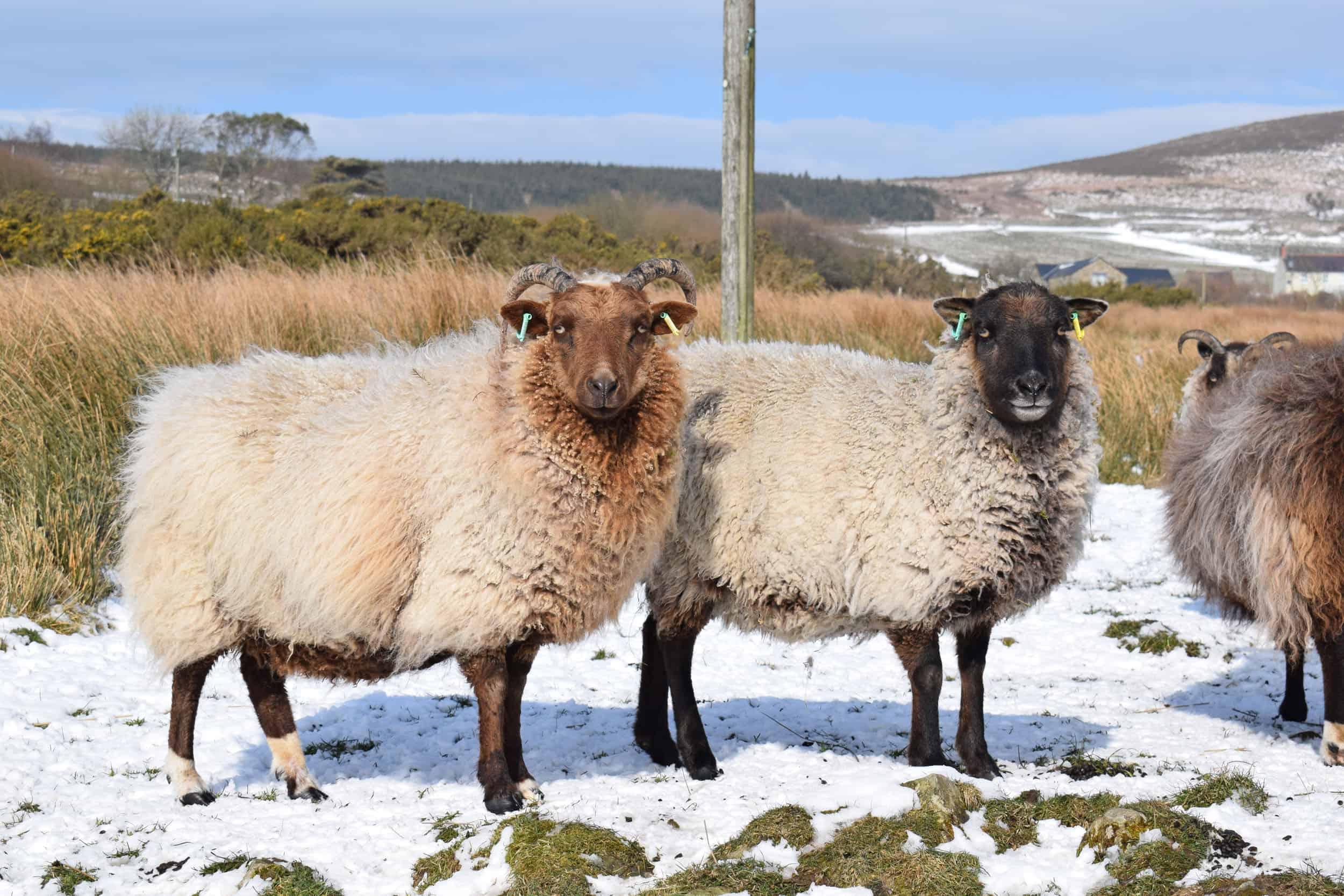 Harriet moorit brown sheep jacob cross shetland daffodil