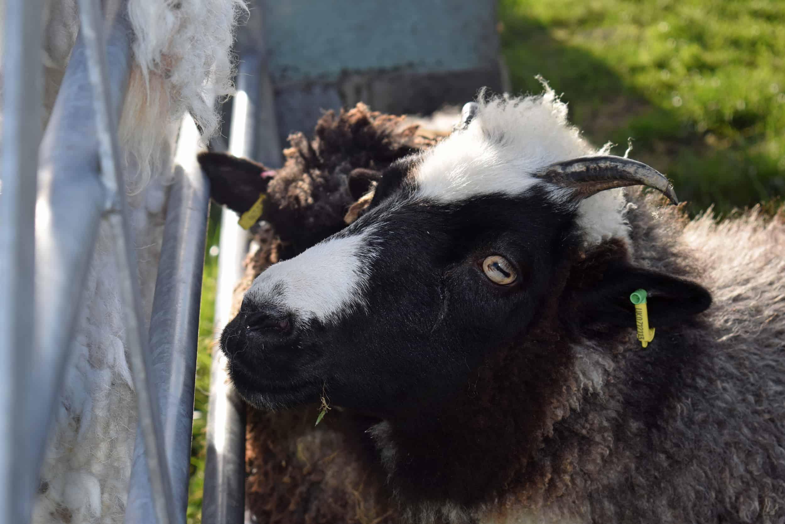 Holly pet lamb sheep jacob cross shetland spotted black grey white wales gwynedd british wool gifts homeware