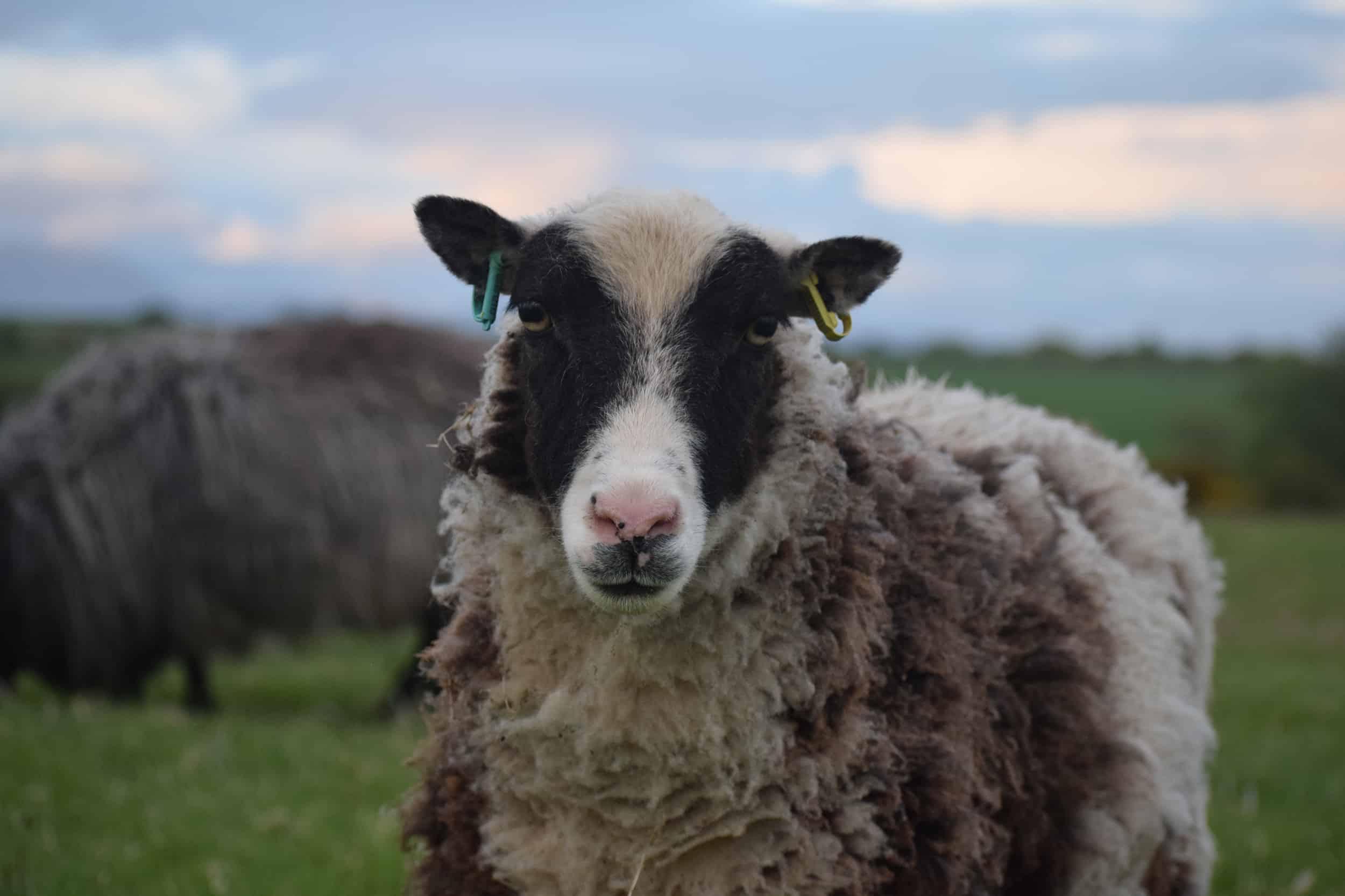 patchwork sheep soay cross shetland spotted ewe Sweep