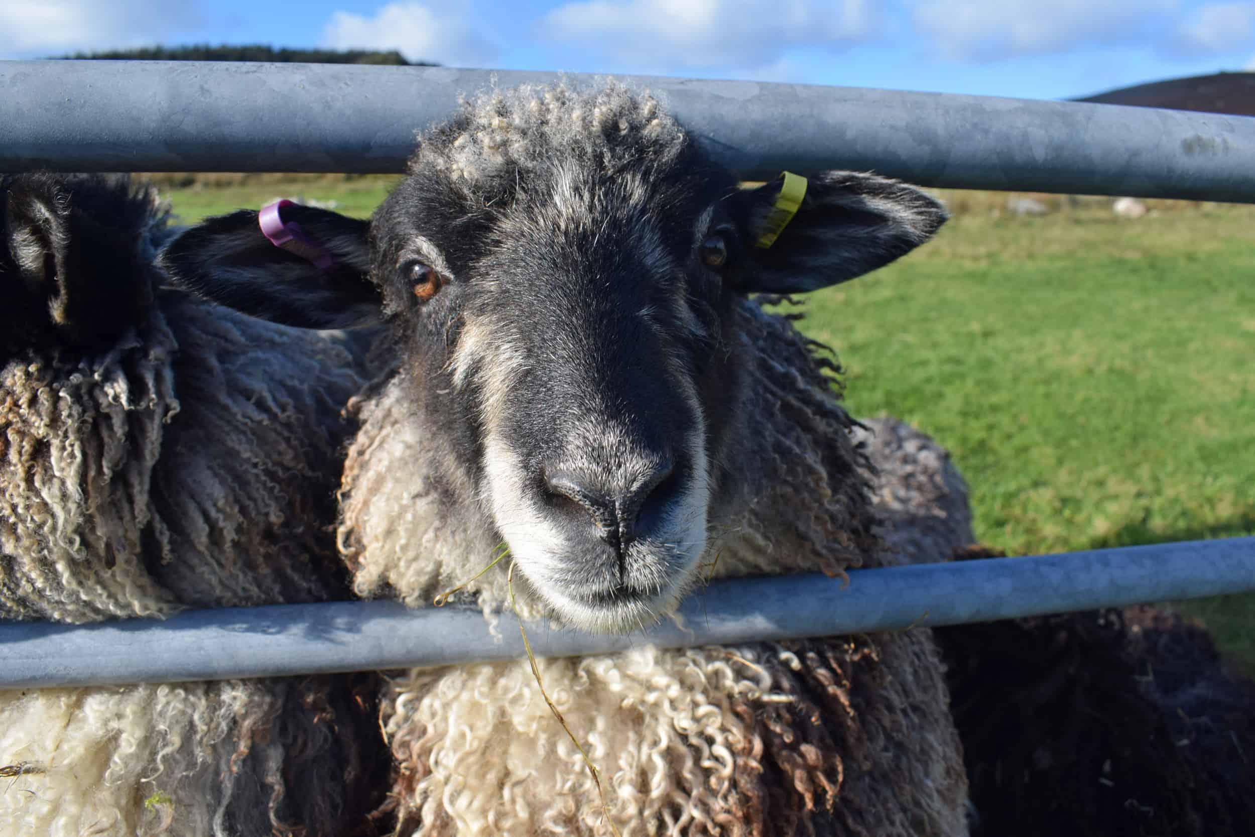 Jemima sheep farm animals coloured leicester longwool gotland sheep shetland ewe lamb kind fibre british wool grey