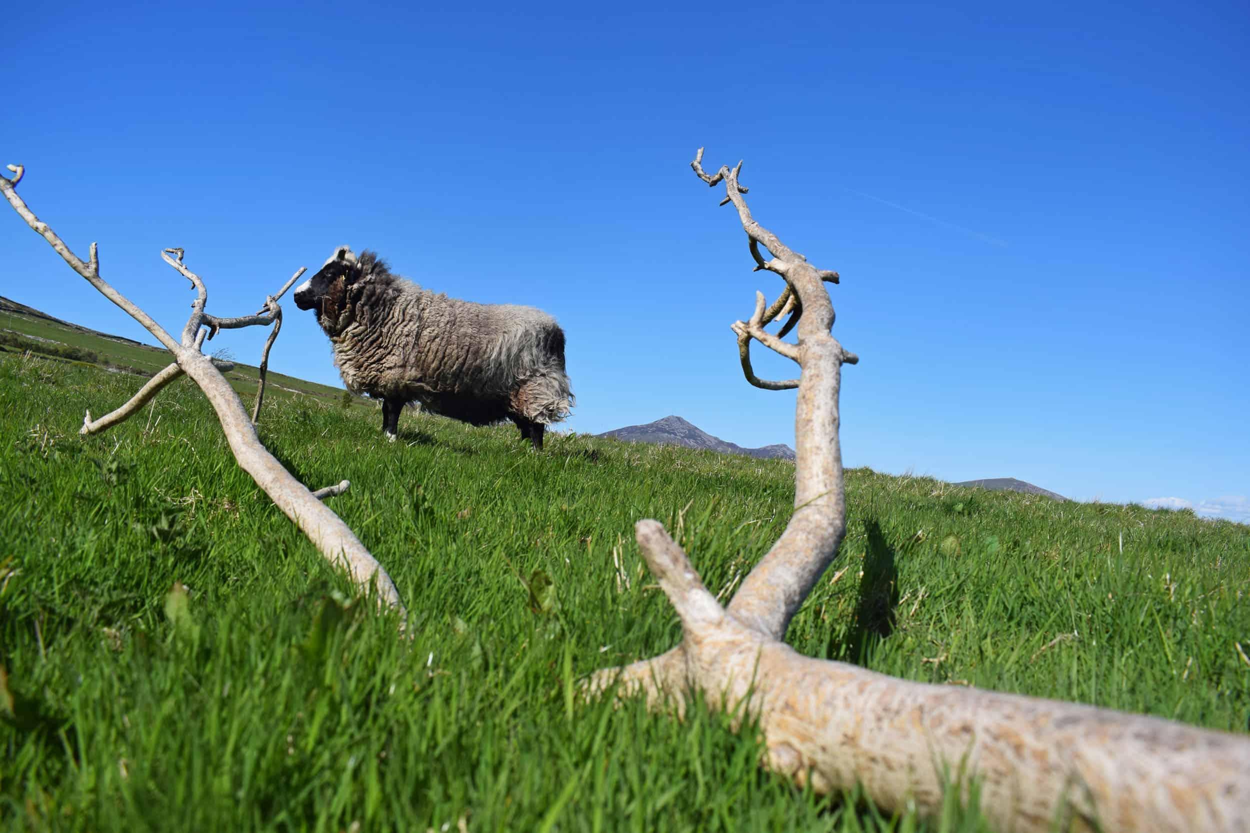 Holly pet lamb sheep jacob cross shetland spotted black grey white wales gwynedd tree ash