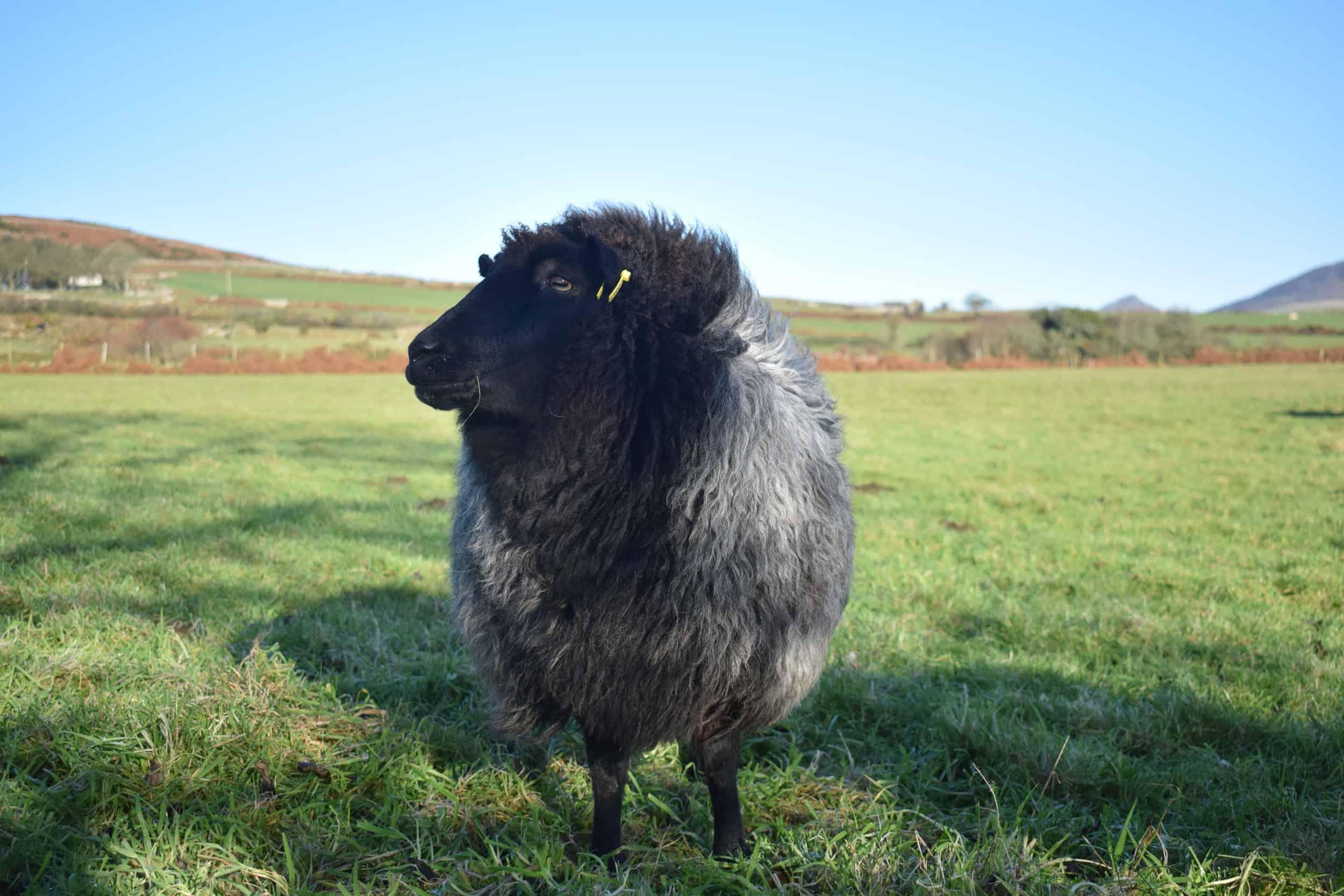 Gem black welsh mountain jacob shetland cross sheeo wild hairy black beauty 5