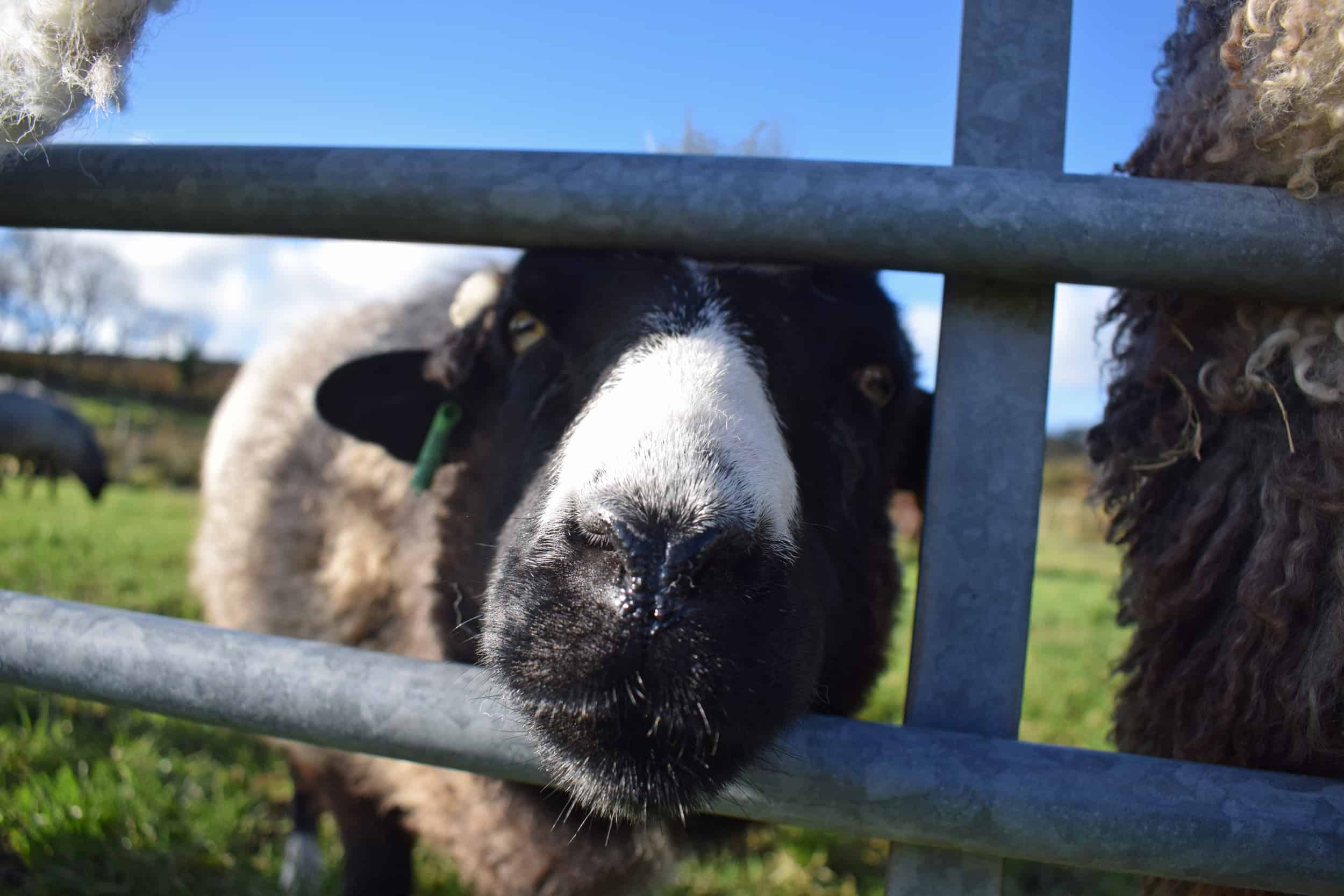 Holly feed me pet lamb sheep jacob cross shetland spotted black grey white wales gwynedd british wool gifts homeware
