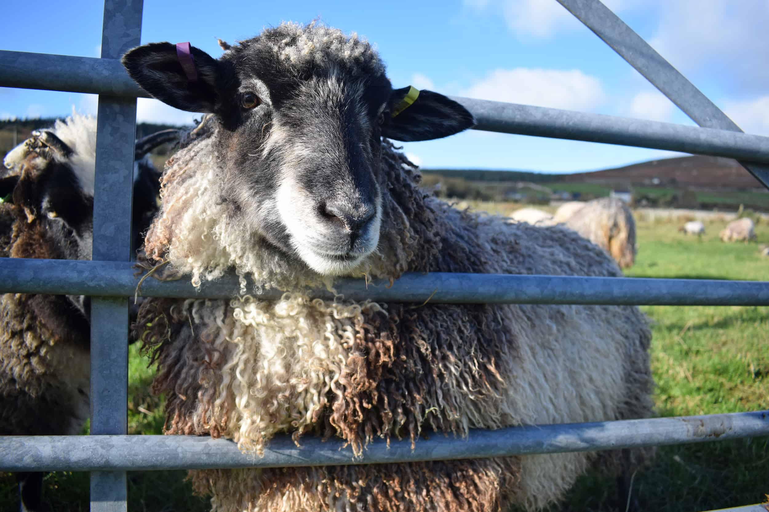 Jemima sheep farm animals coloured leicester longwool gotland sheep shetland ewe lamb kind fibre british wool grey patchwork sheep