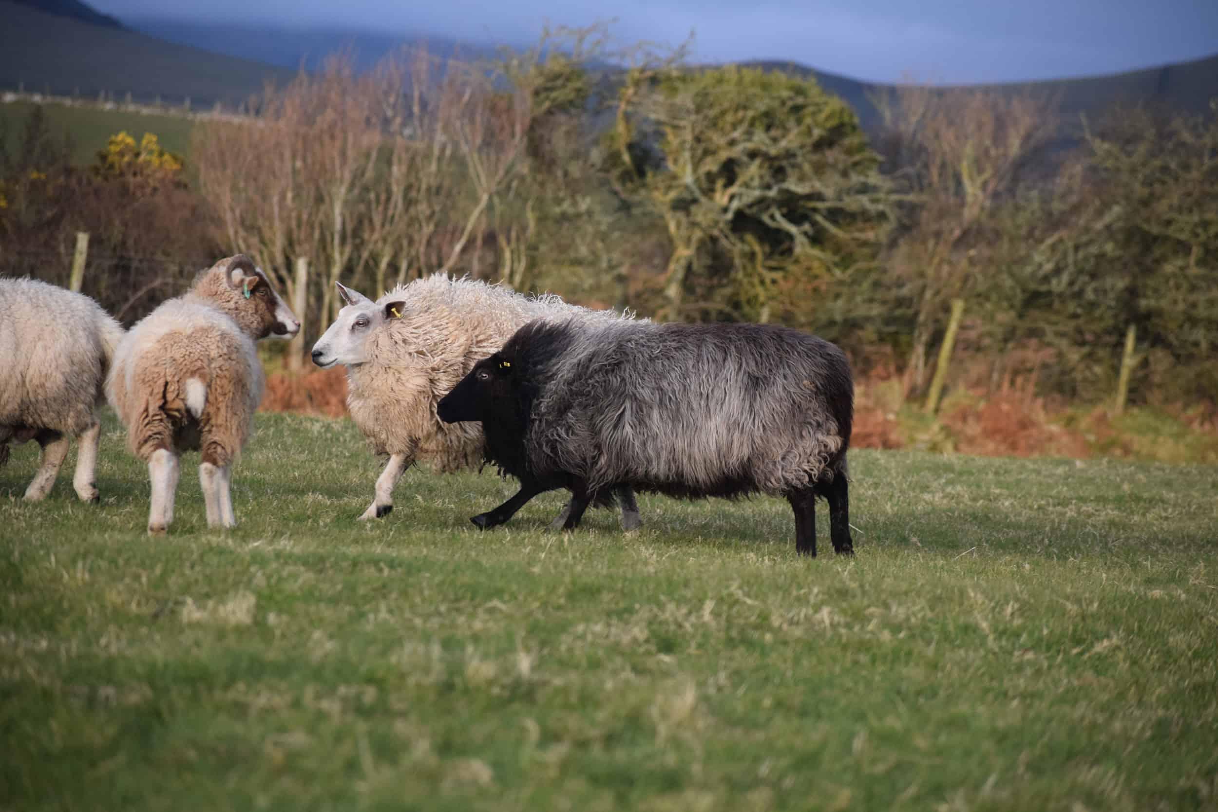 Gem black welsh mountain jacob shetland cross sheeo wild hairy black beauty 6