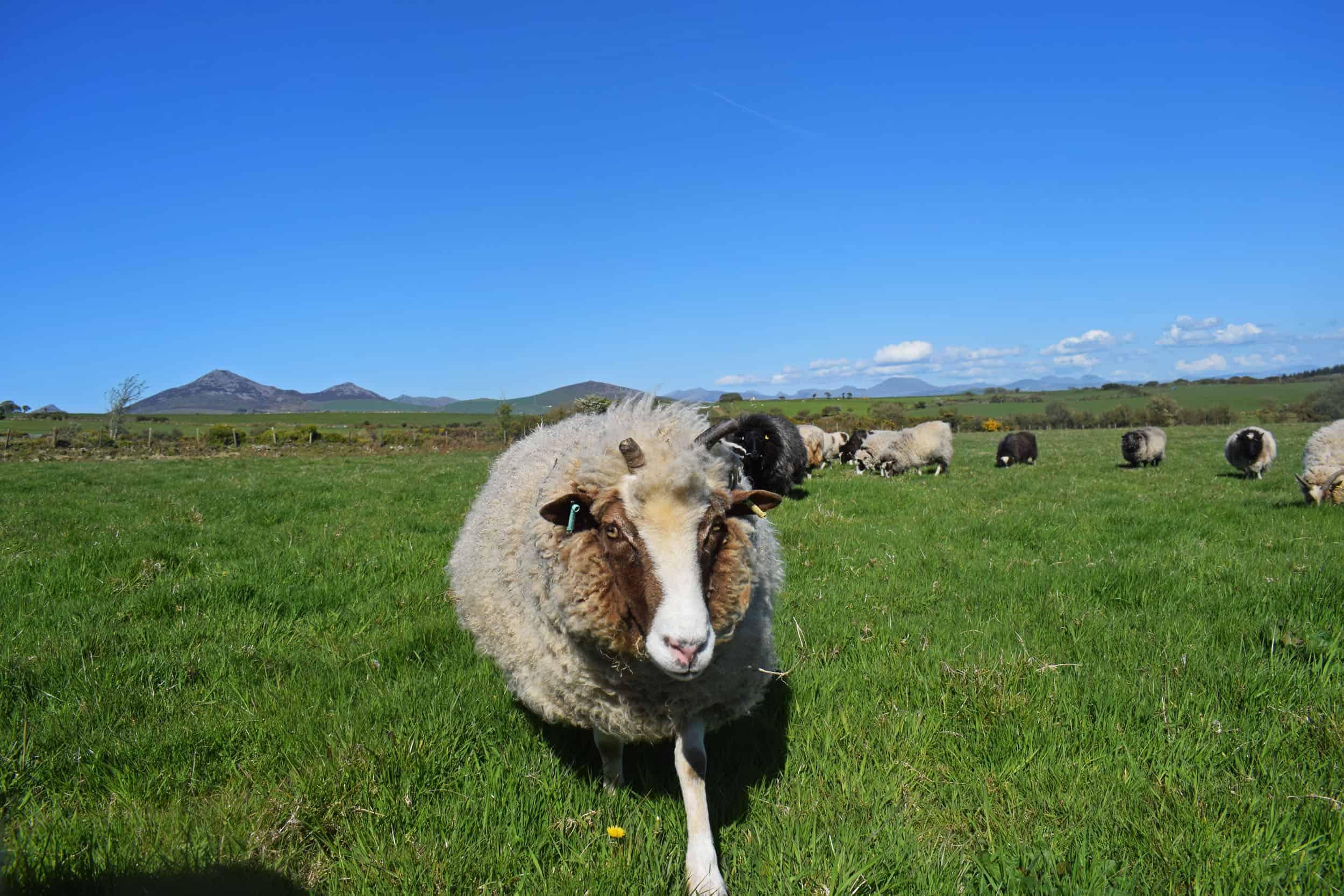 Muffn patchwork sheep moorit brown spotted jacob sheep shetland sheep 2018