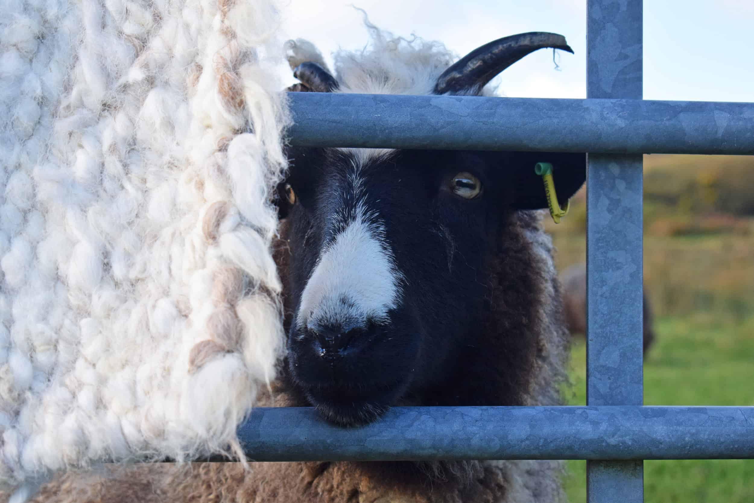 Holly pegloom pet lamb sheep jacob cross shetland spotted black grey white wales gwynedd british wool gifts homeware