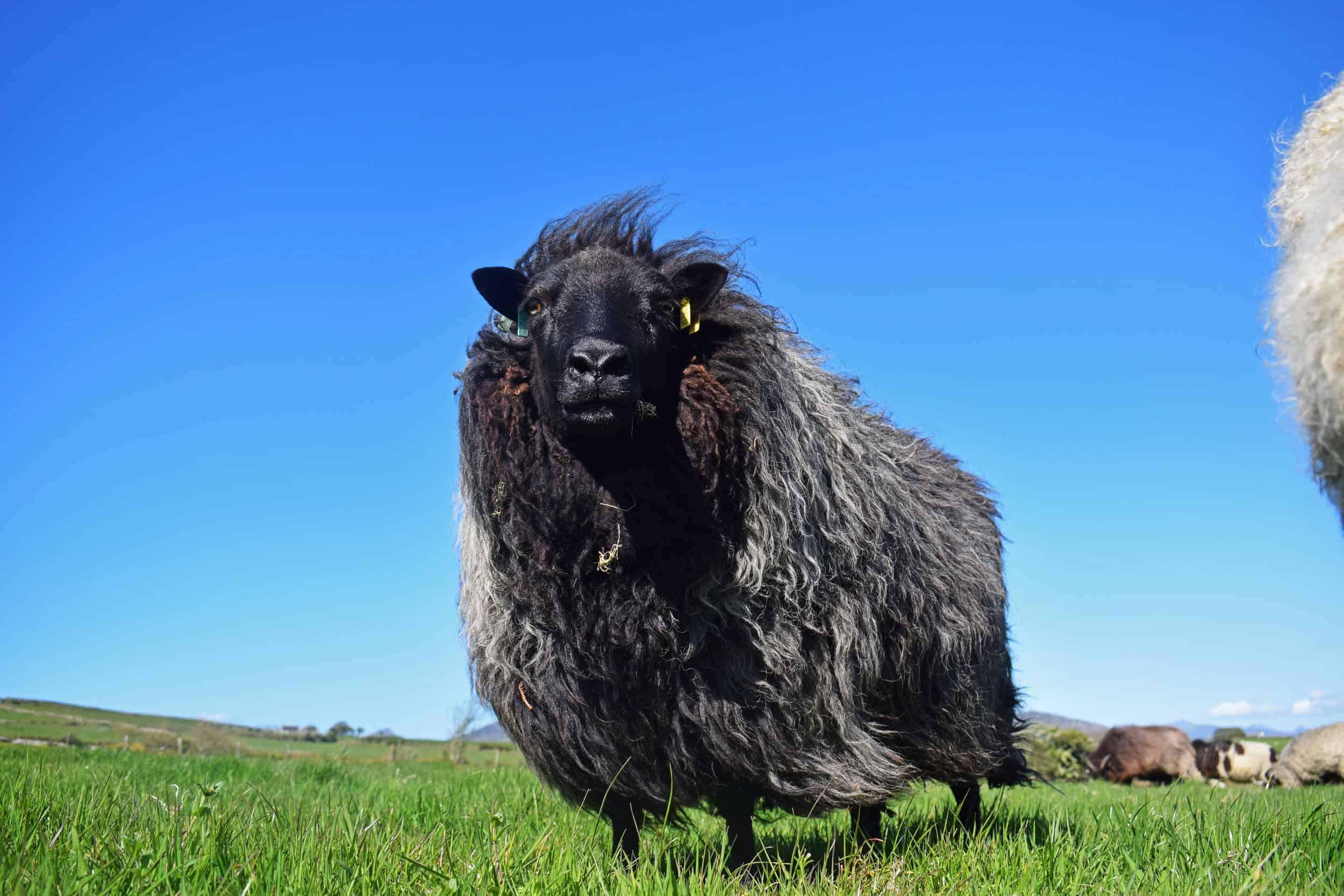 Gem black welsh mountain jacob shetland cross sheeo wild hairy black beauty 7