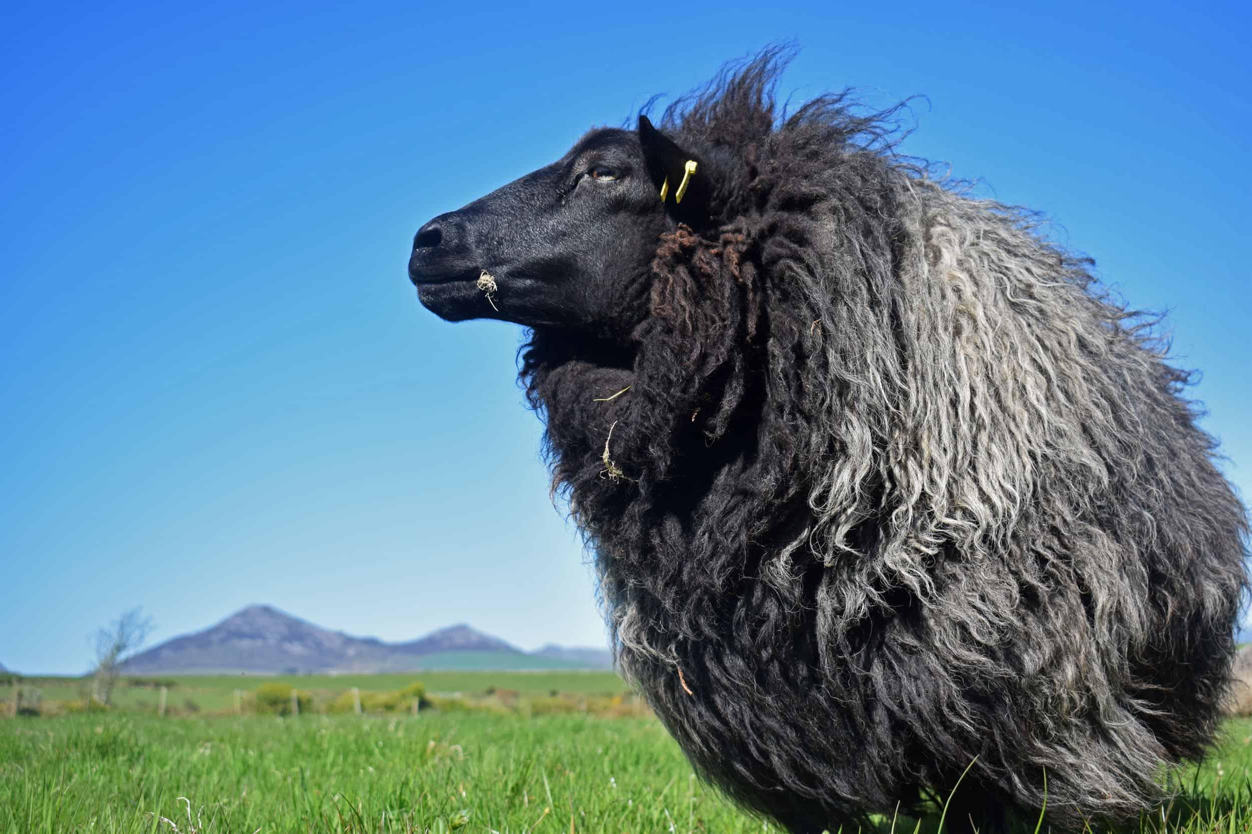 Gem black welsh mountain jacob shetland cross sheeo wild hairy black beauty 2