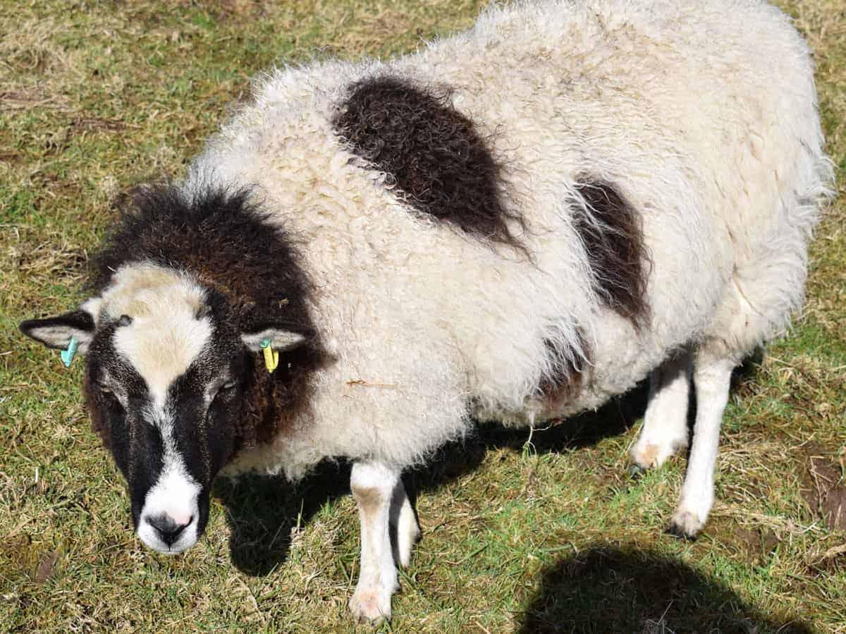 patchwork sheep spots soay cross shetland spotted ewe Fern