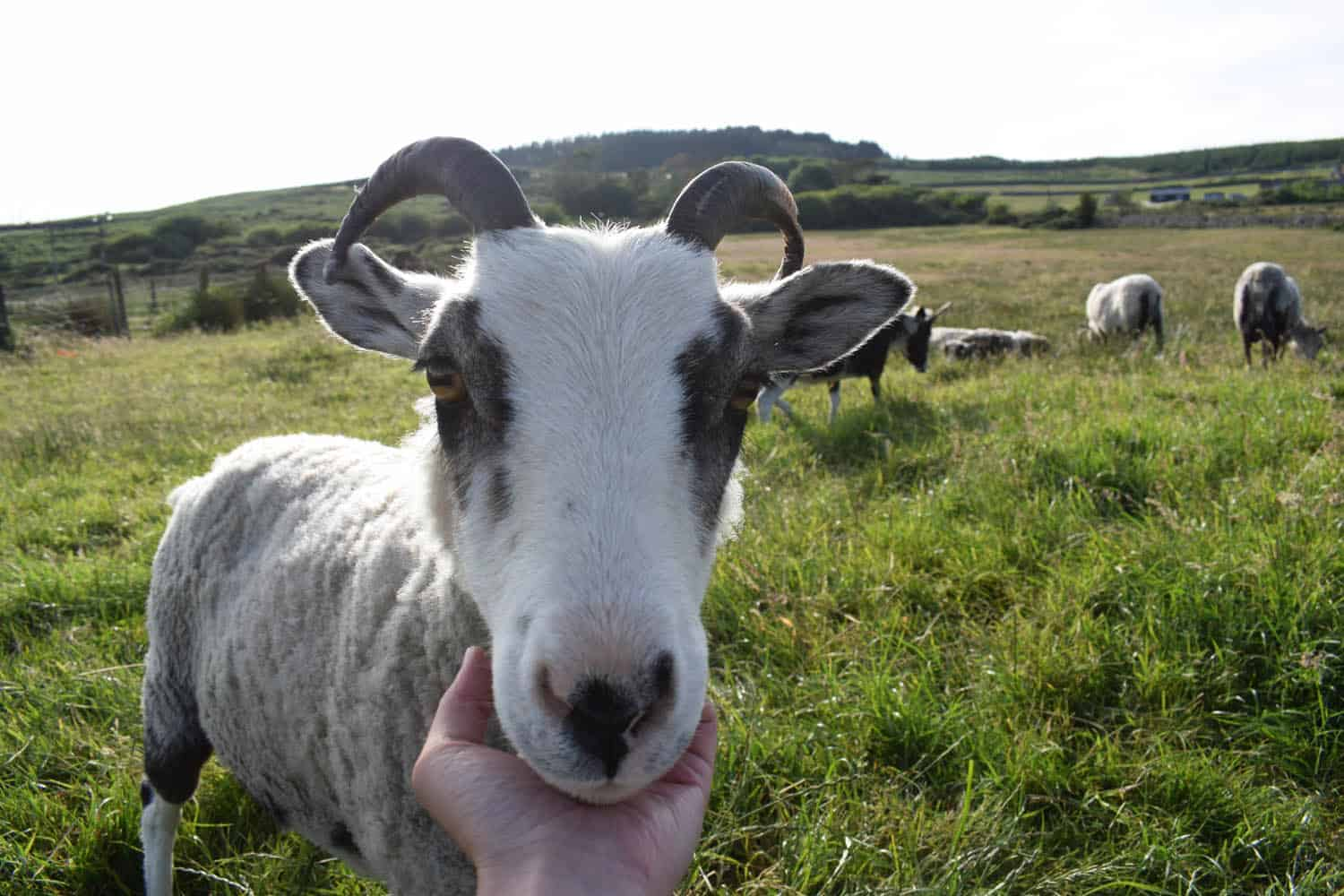 Rhubarb pet sheep badgerface spotted sheep primitive shetland soay crossbreed
