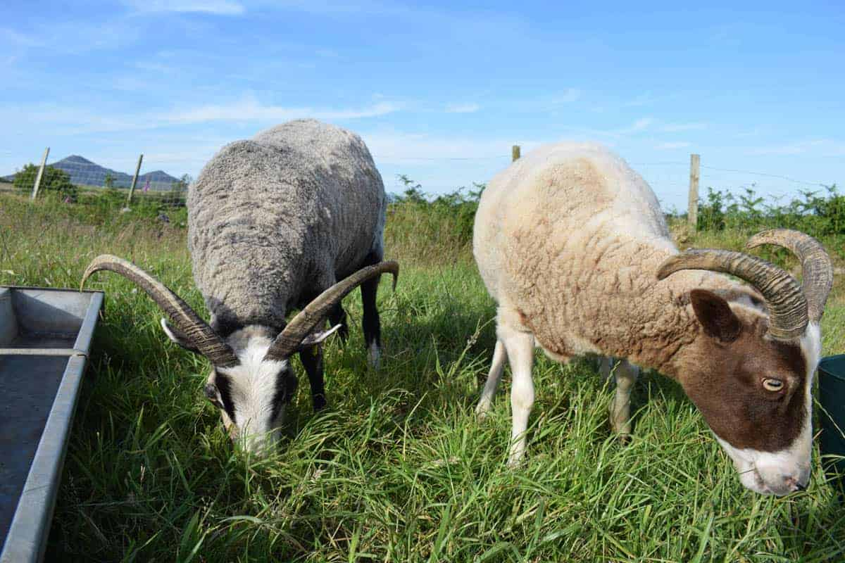 Poppy hornes shorn sheep katmoget badgerface shetland cross jacob sheep lamb cute