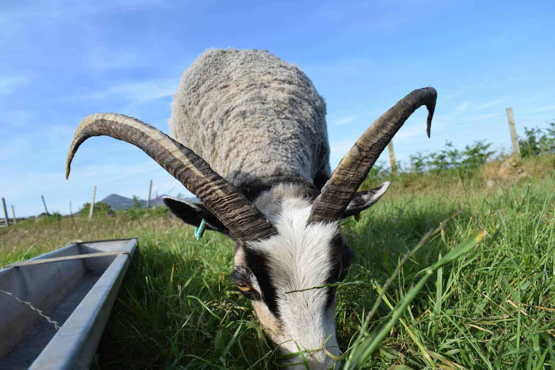 Poppy horned sheep katmoget badgerface shetland cross jacob sheep lamb cute