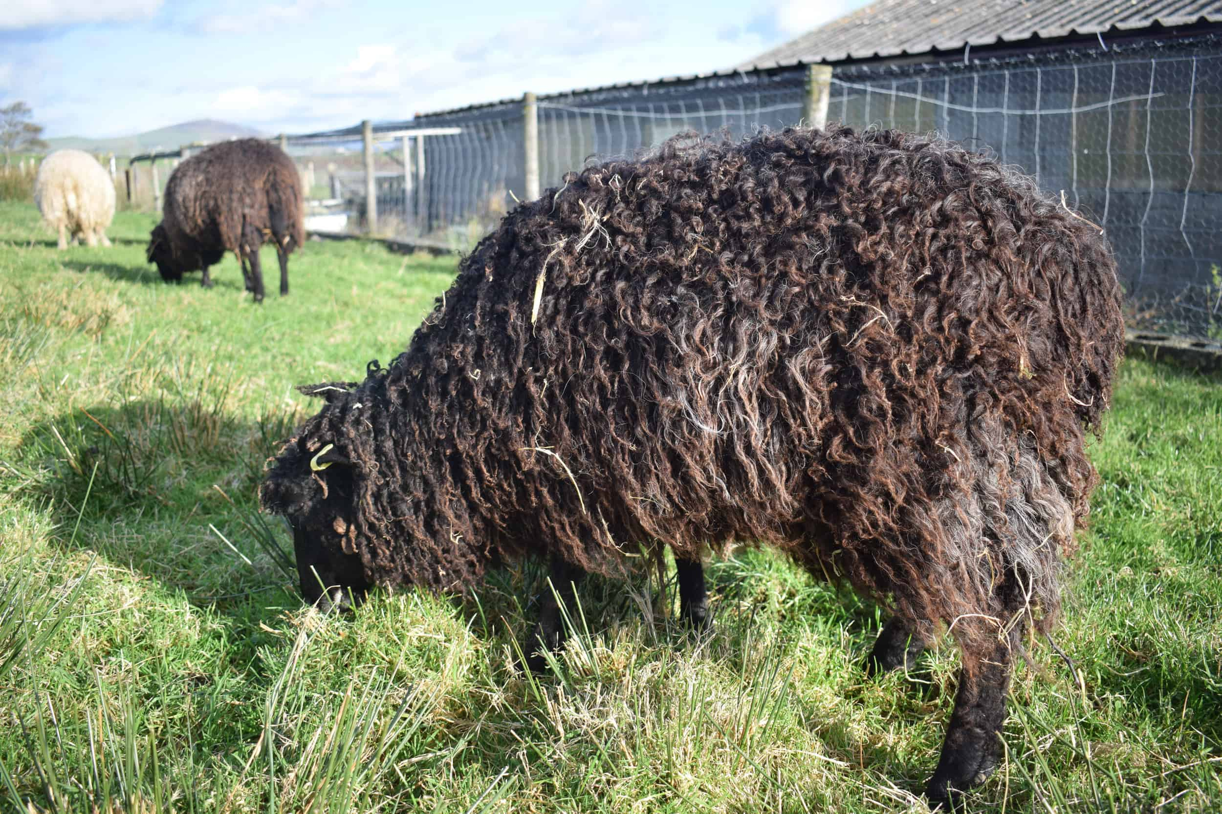 Tatty longwool lamb races coloured leicester longwool shetland gotland sheep ewe lamb kind fibre sheep frendly ethical wool products cross fleece