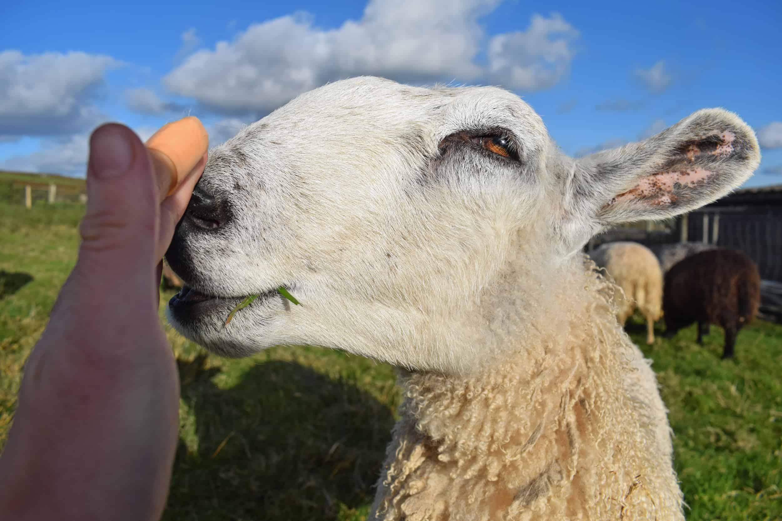 Lily bfl blueface leicester sheep ewe lamb pet bottle baby lamb roman nose