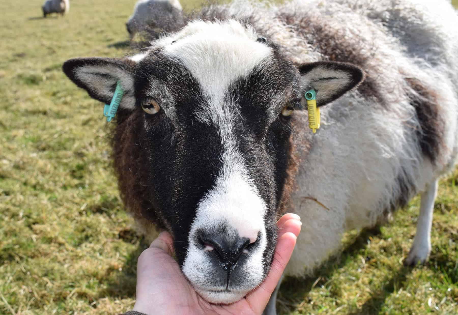 patchwork sheep soay cross shetland spotted ewe Fern