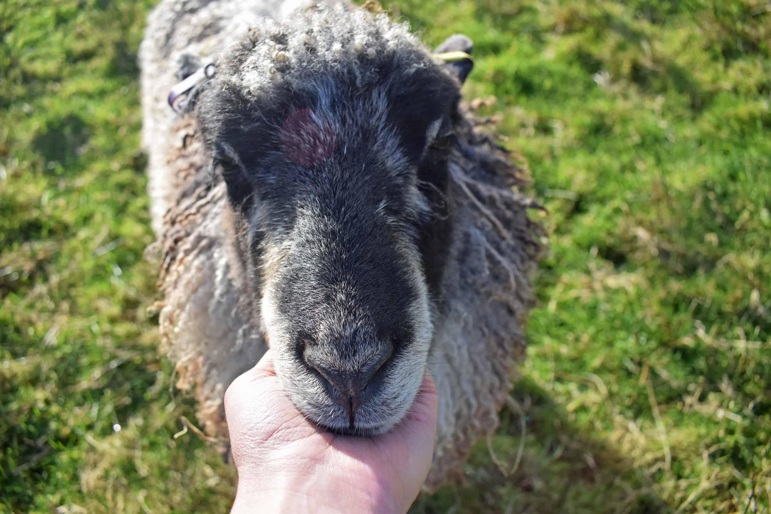 Jemima sheep farm animals coloured leicester longwool gotland sheep shetland ewe lamb kind fibre british wool grey animal friends