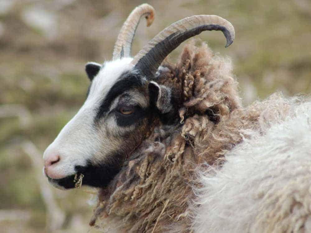 Poppy katmoget badgerface shetland cross jacob sheep lamb cute yearling sheep