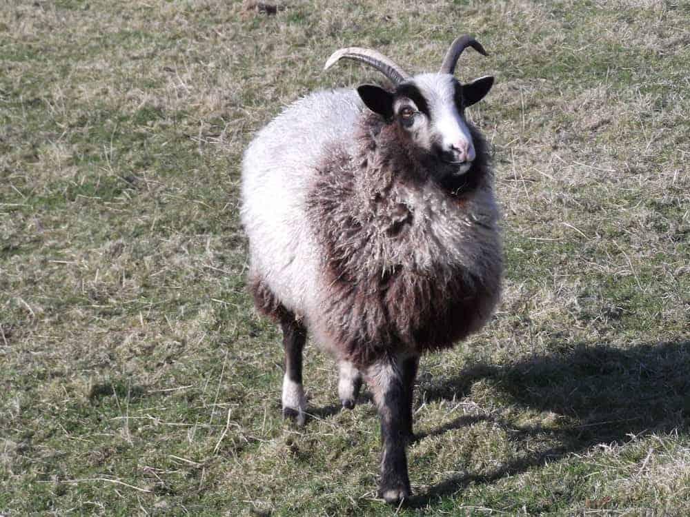Poppy katmoget badgerface shetland cross jacob sheep lamb yearling