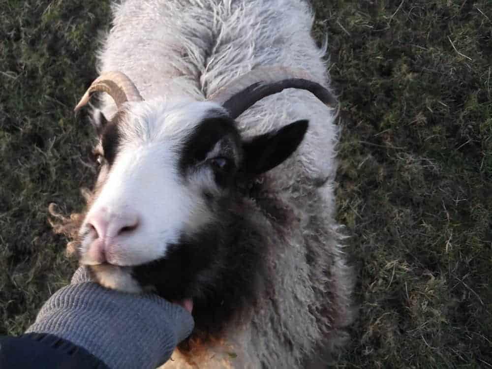 Poppy katmoget badgerface shetland cross jacob sheep lamb cute farm life