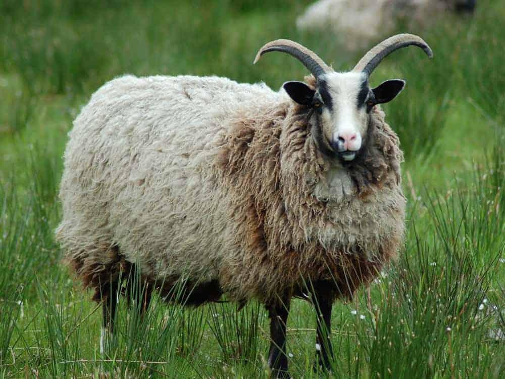 Poppy katmoget badgerface shetland cross jacob sheep amazing fleece wool