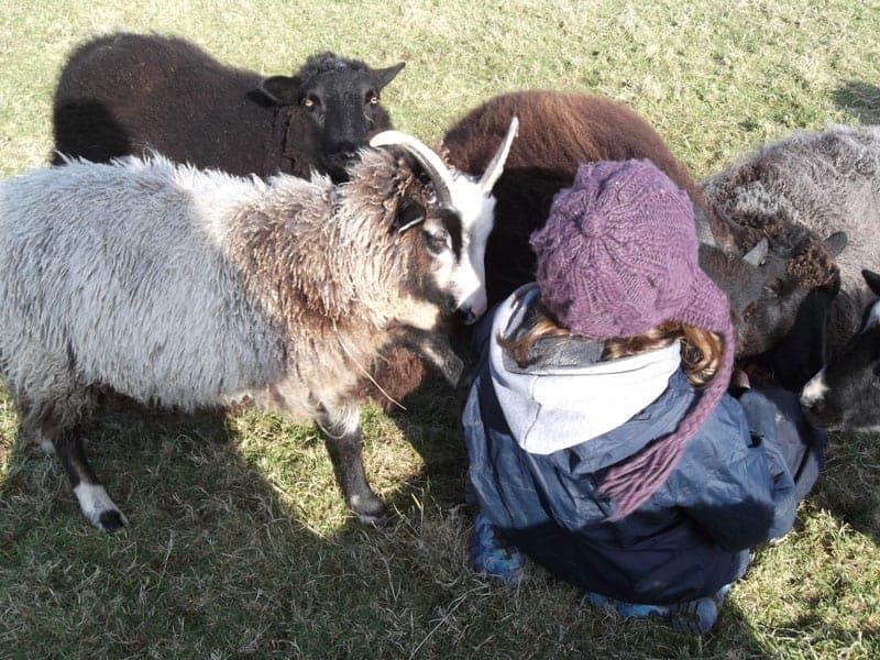 sheep pet cuddles patchwork sheep