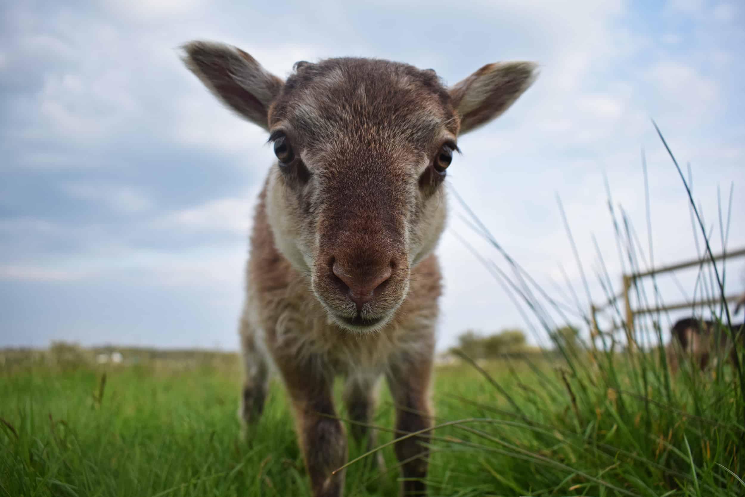frosted moorit mouflon lamb