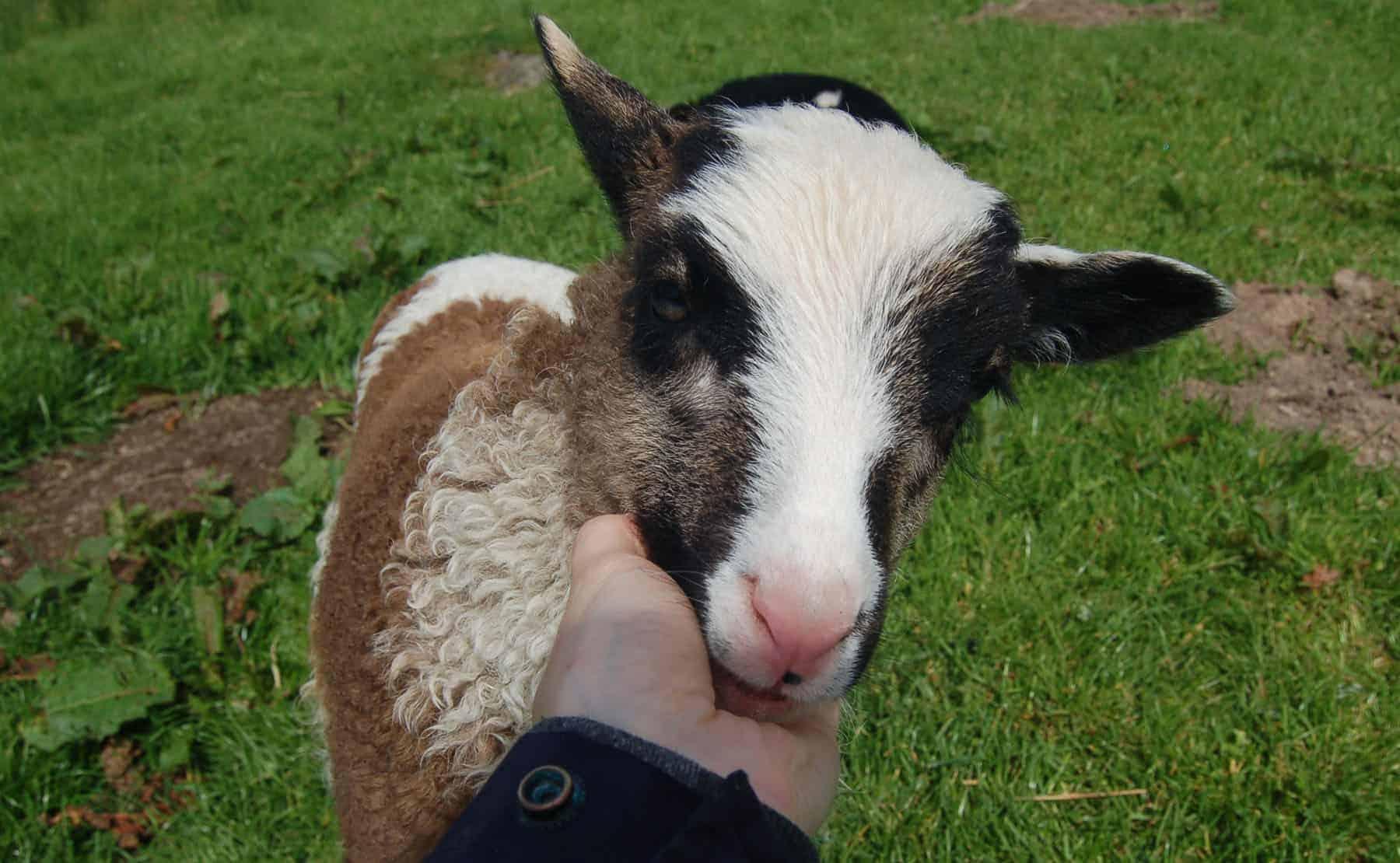 Waffle patchwork sheep lamb pet