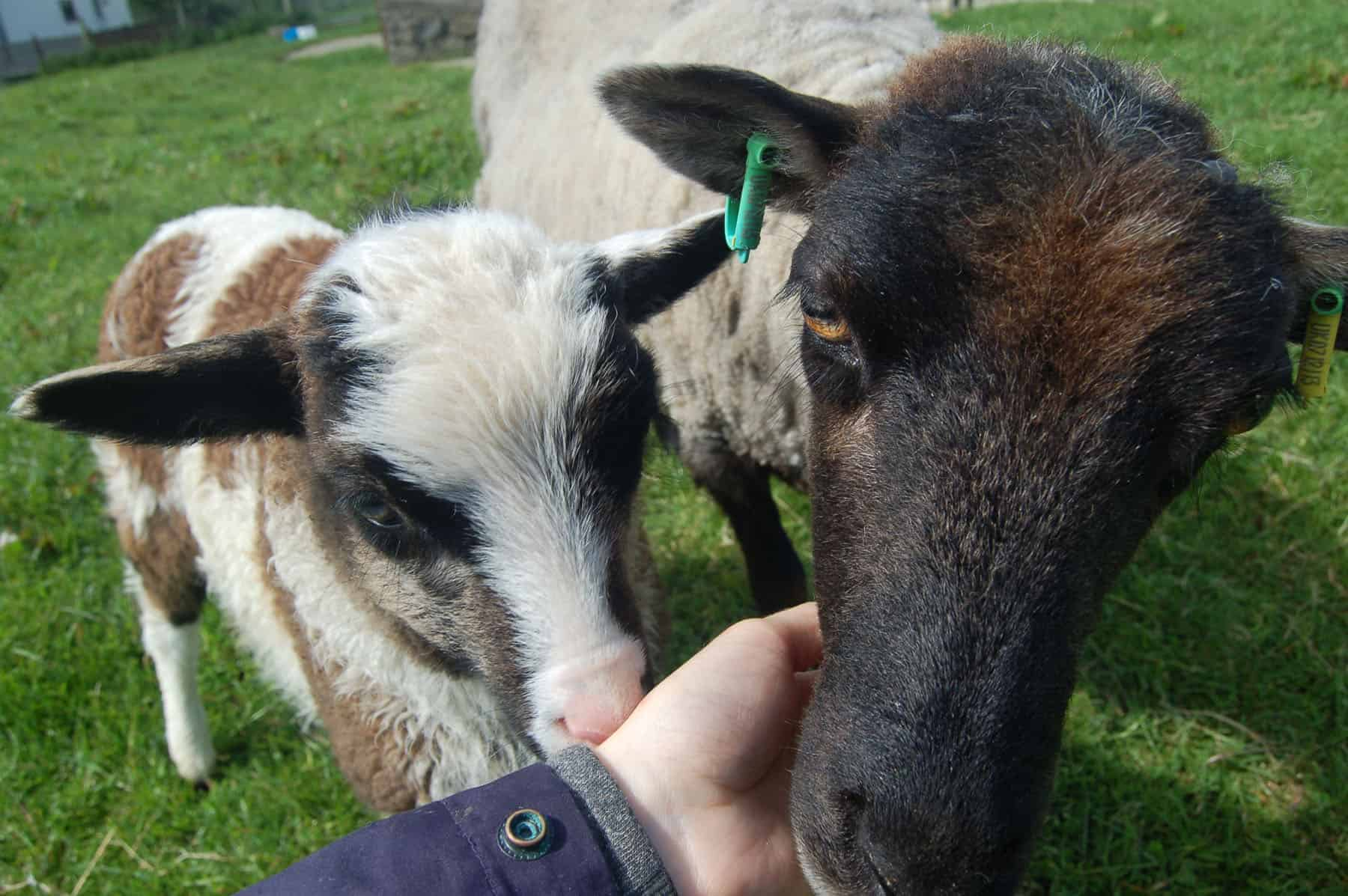 Waffle and Daffodil primitive crossbreed fiber sheep